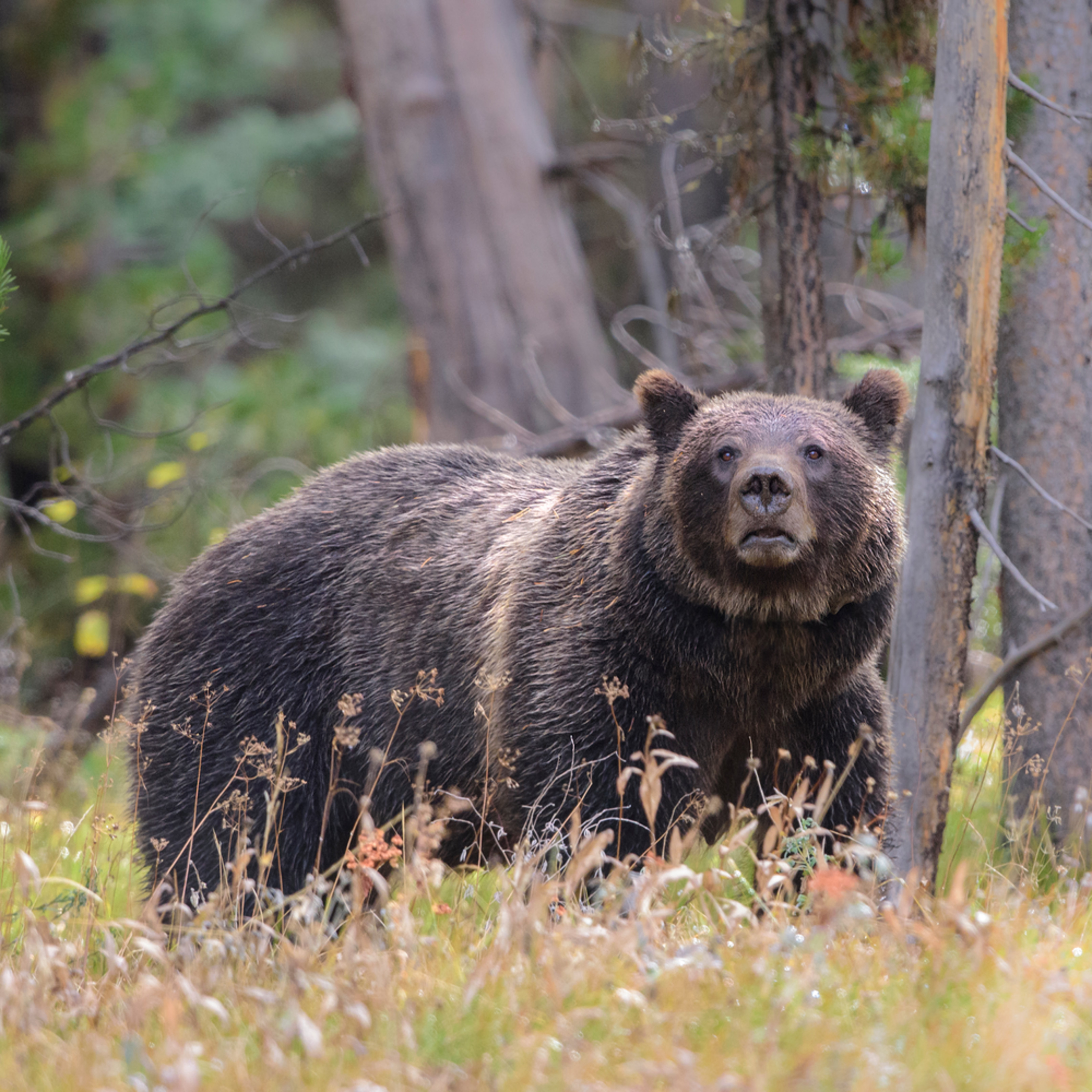 X1914 grizzly encounter 3 2 4832 x 3225 j100argb s1o93p4h4v3rt 20180921 1454 woqa4n