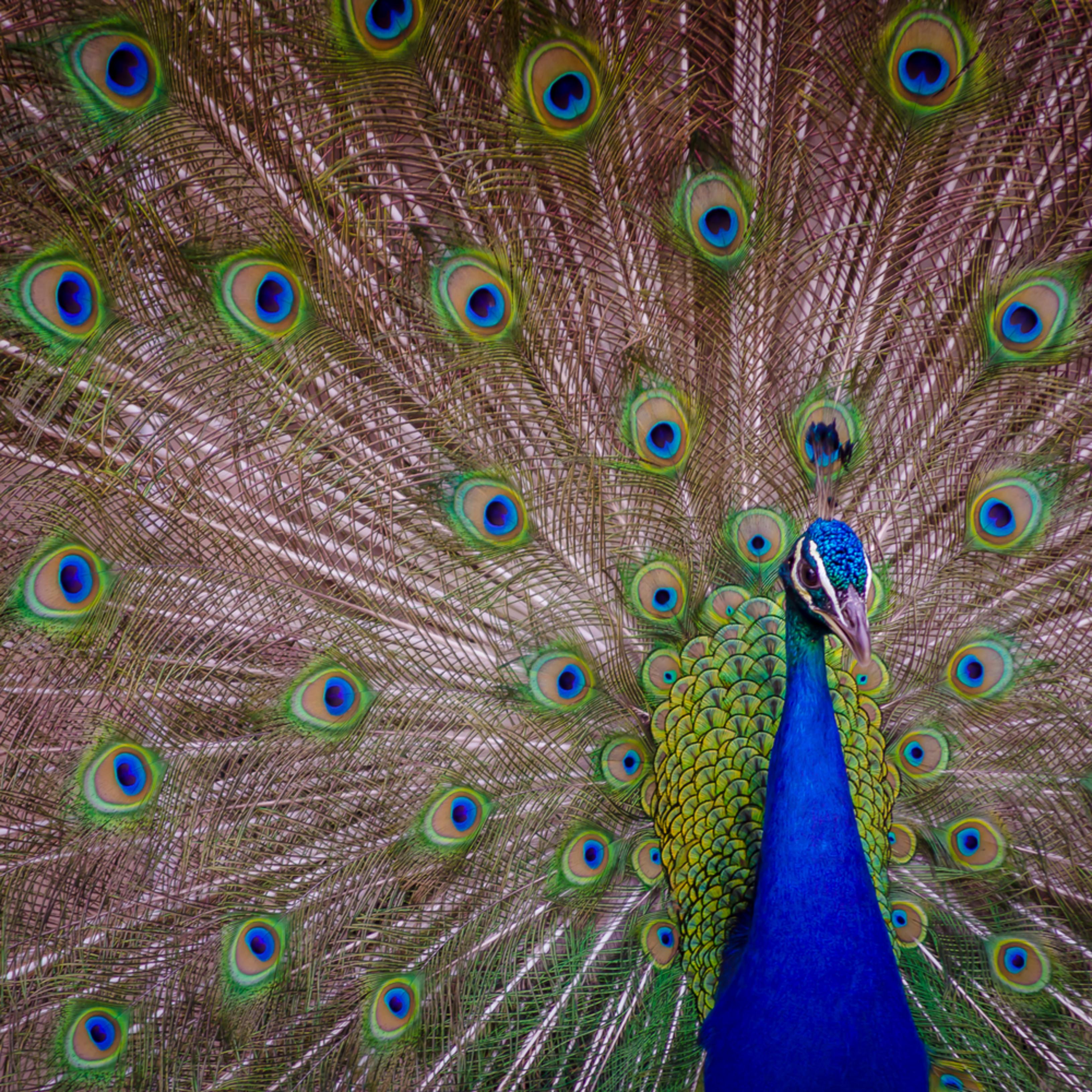 Peacock plume kavgxv