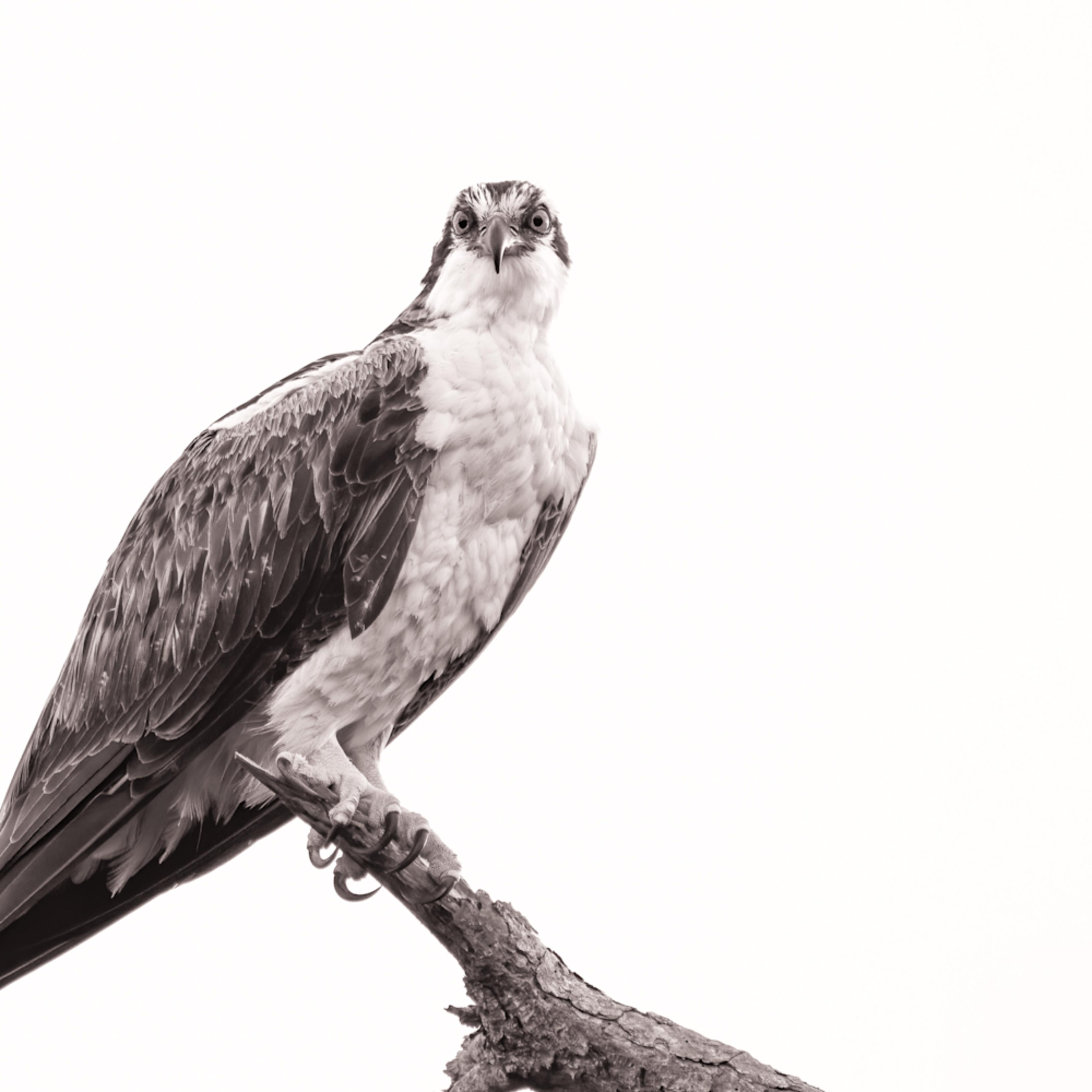 Osprey cuda edit pe2ooc