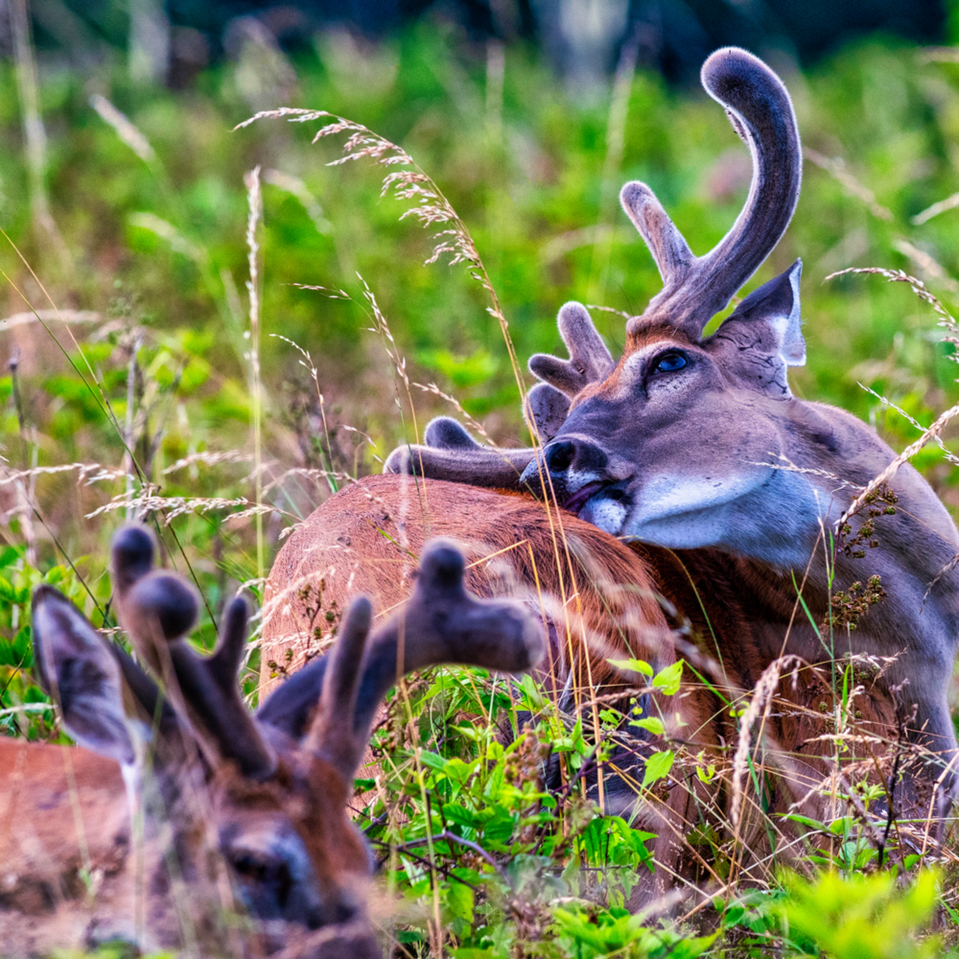 Andy crawford photography whitetail buck scratching that itch biydzu