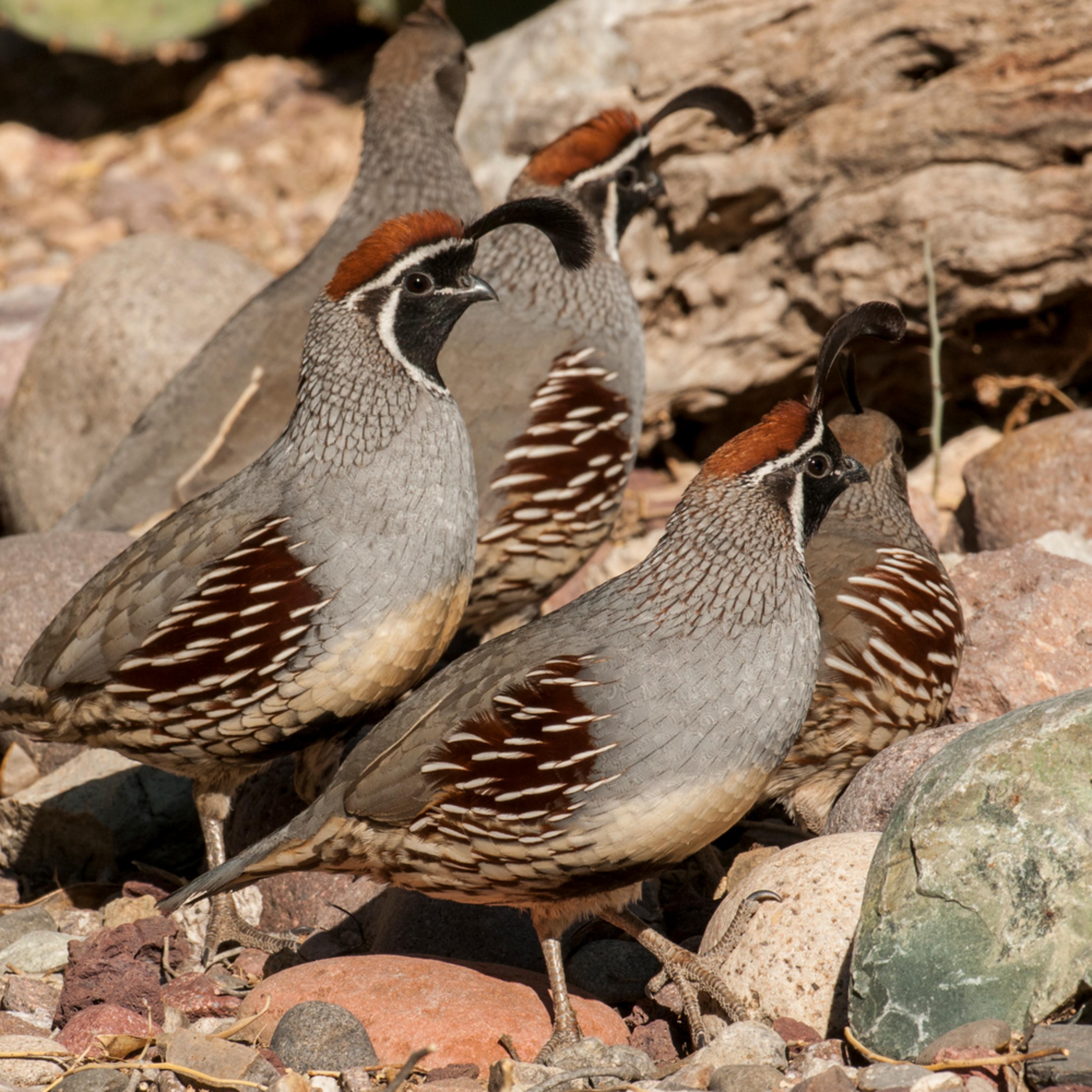 Dp461 quail group zyl0qw