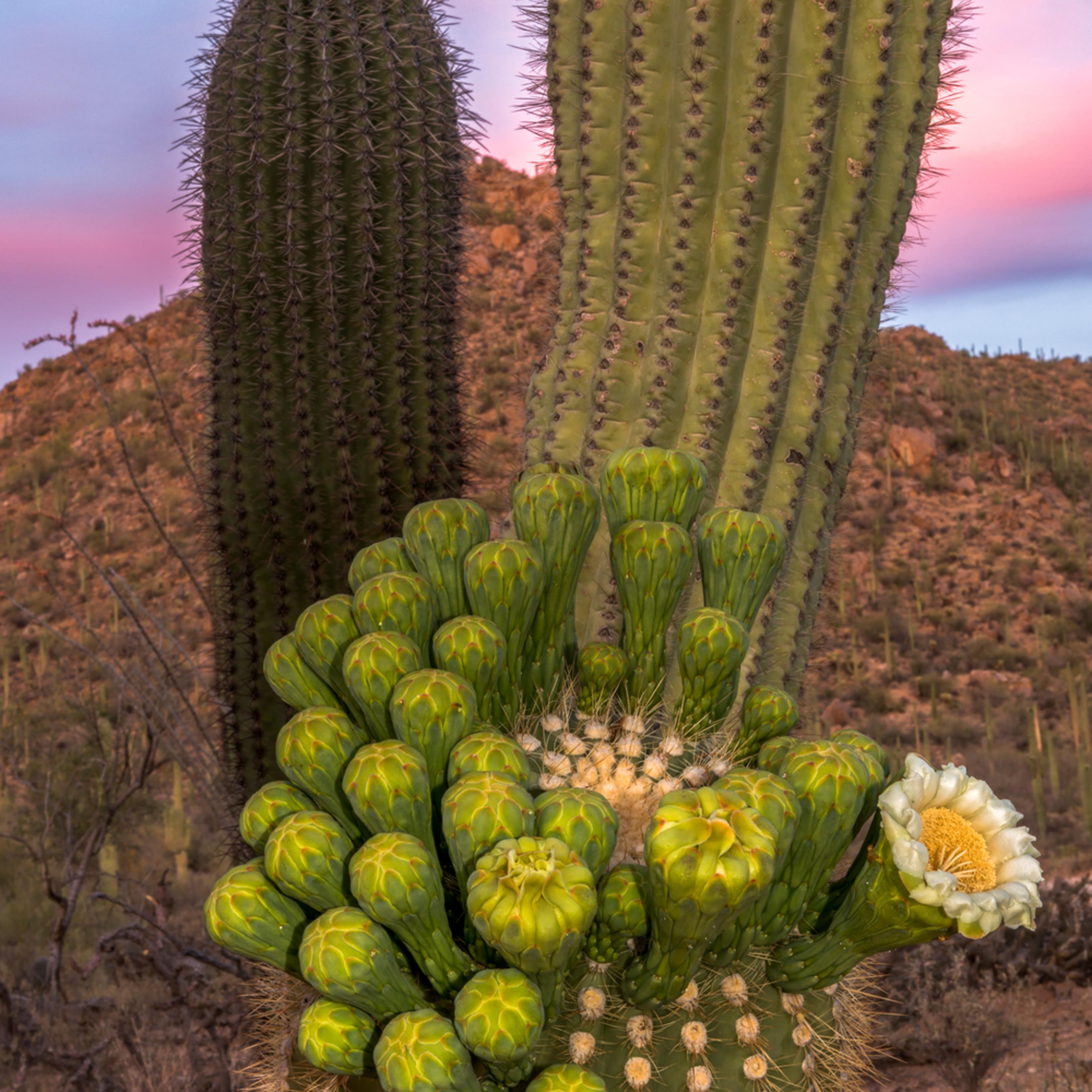 Dp500 saguaro arm bloom p4swiq
