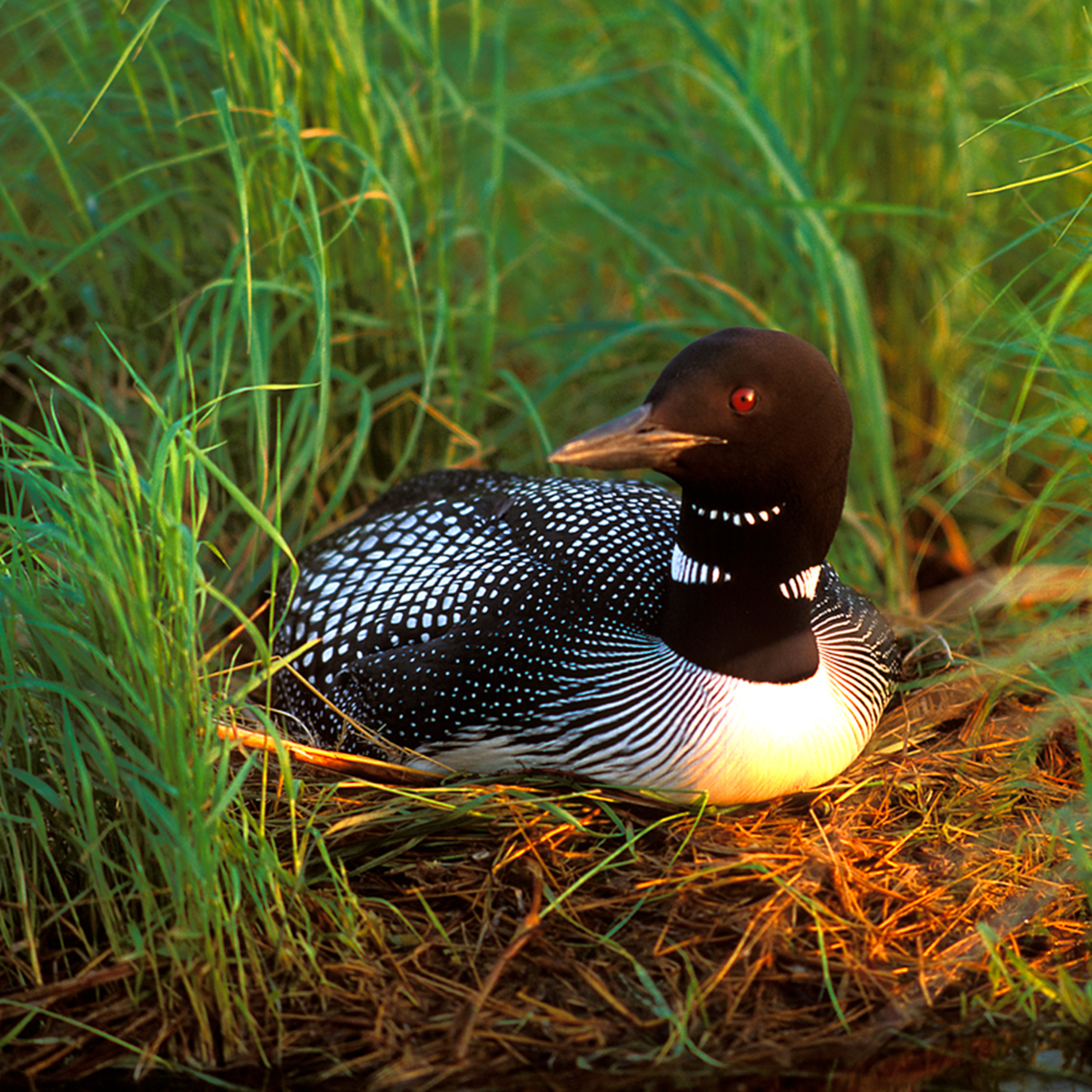 Dp06 loon on nest vyh3a5