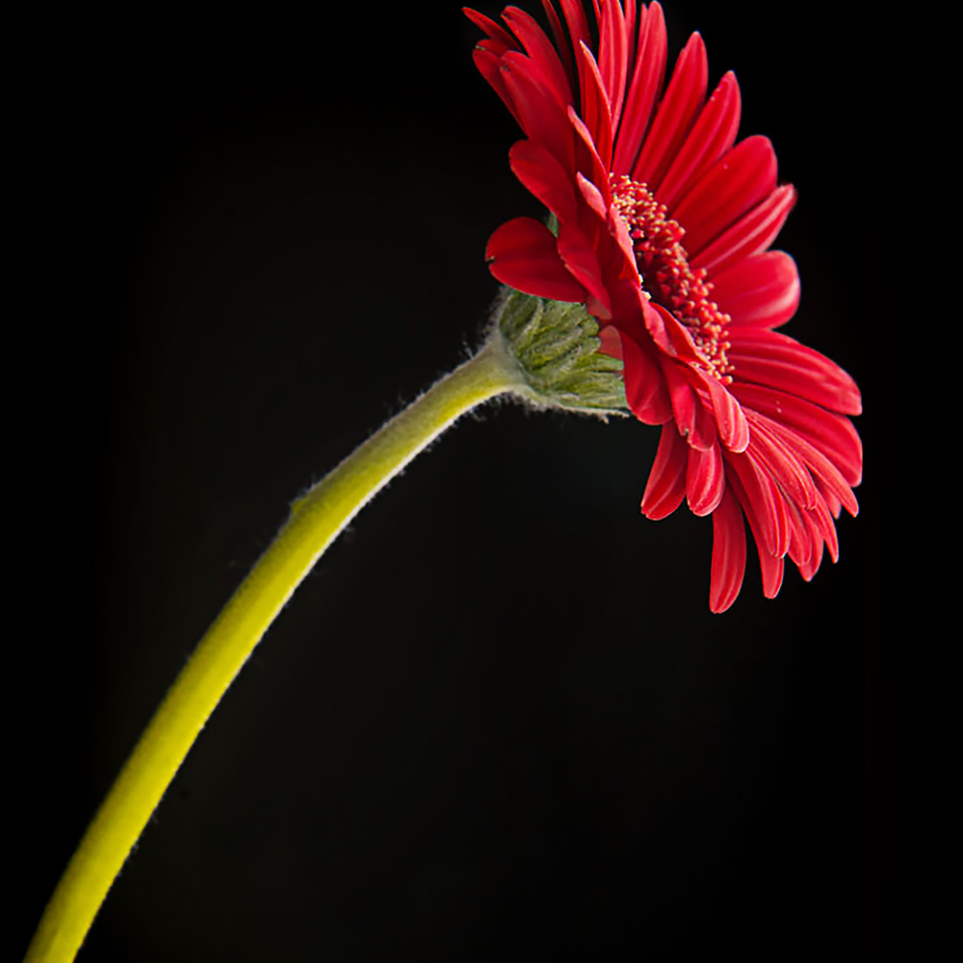 20652642 red gerber daisy olcrcp