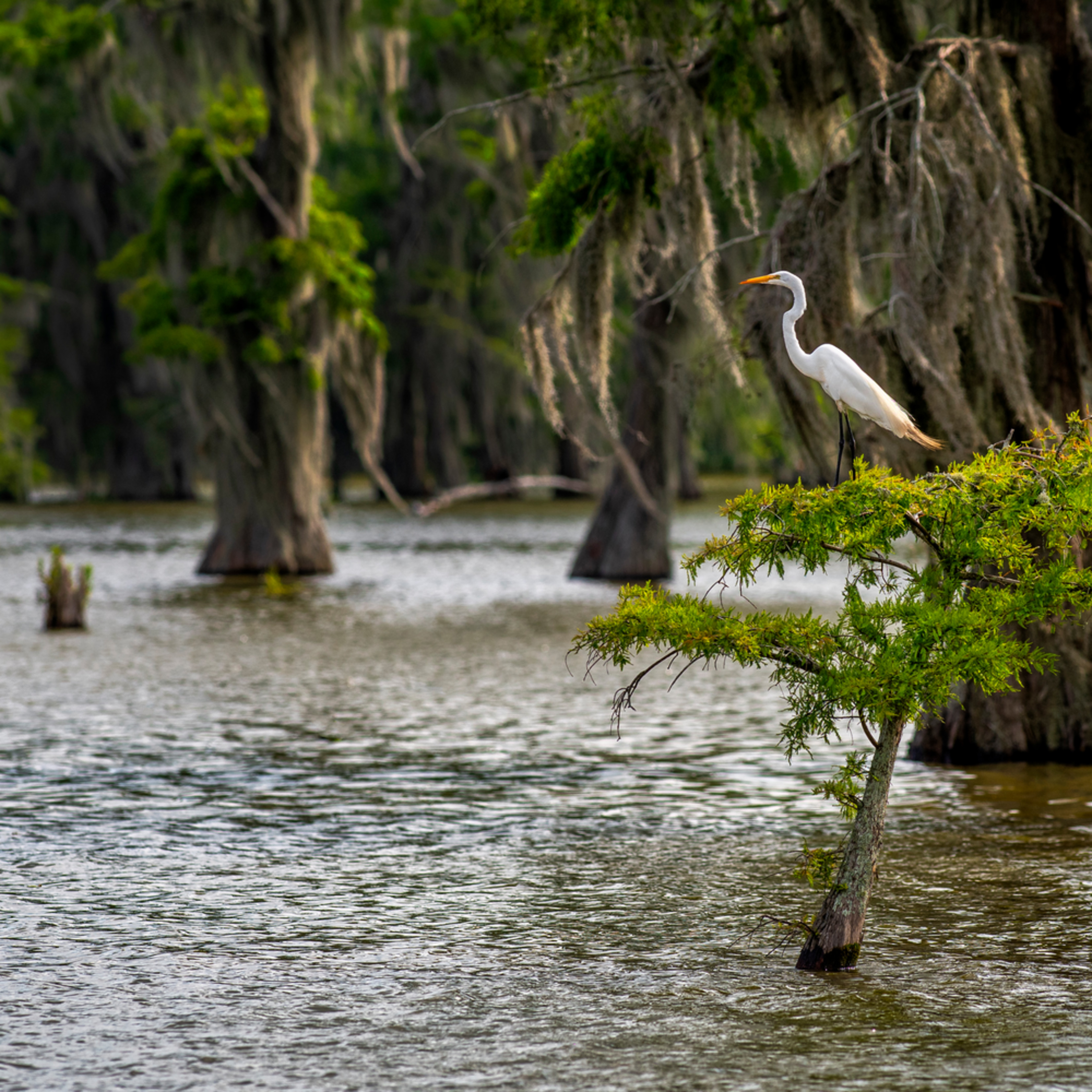 Andy crawford photography lake martin swamp keeping watch kxayhn