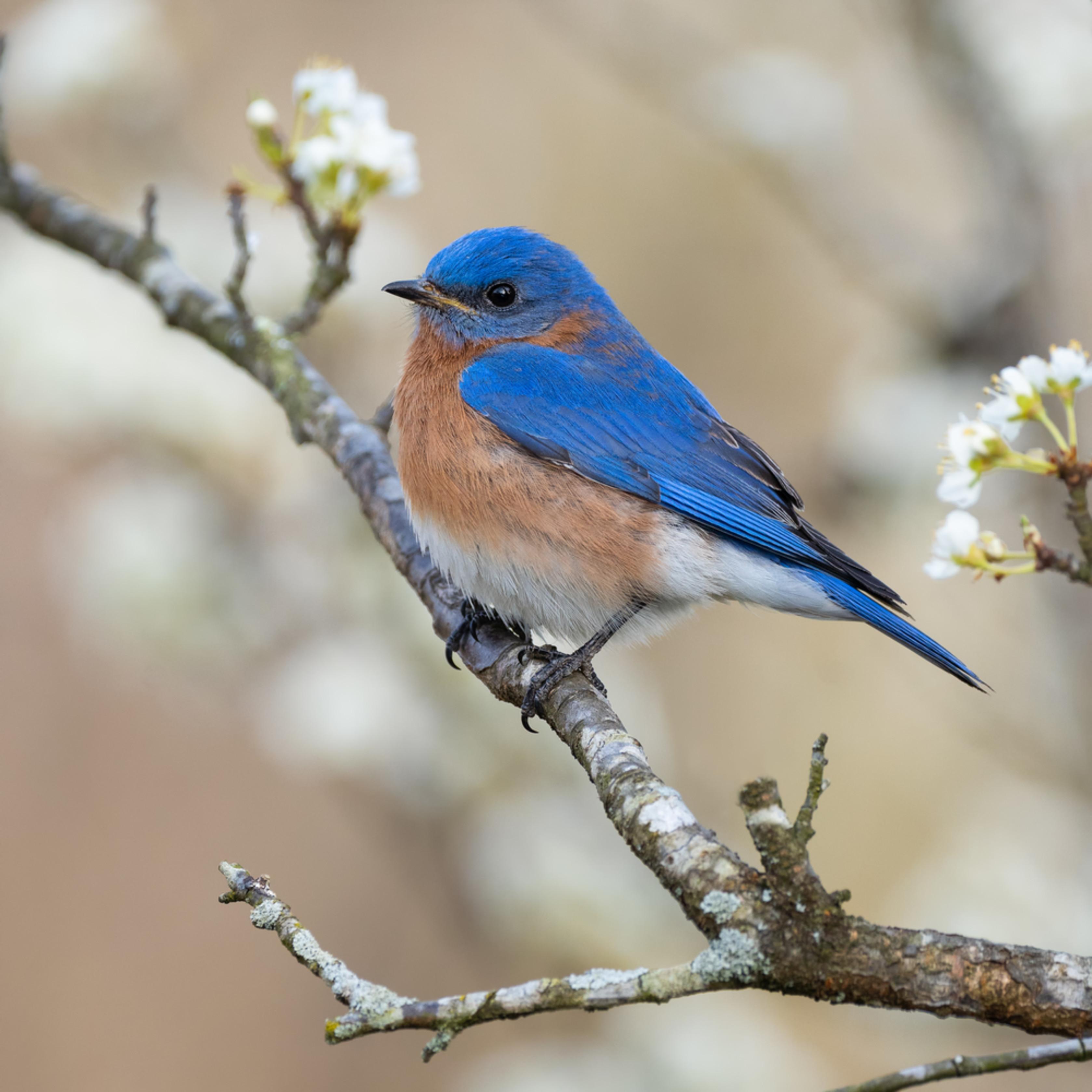 Forsyth county eastern bluebird plum2 izg9w6