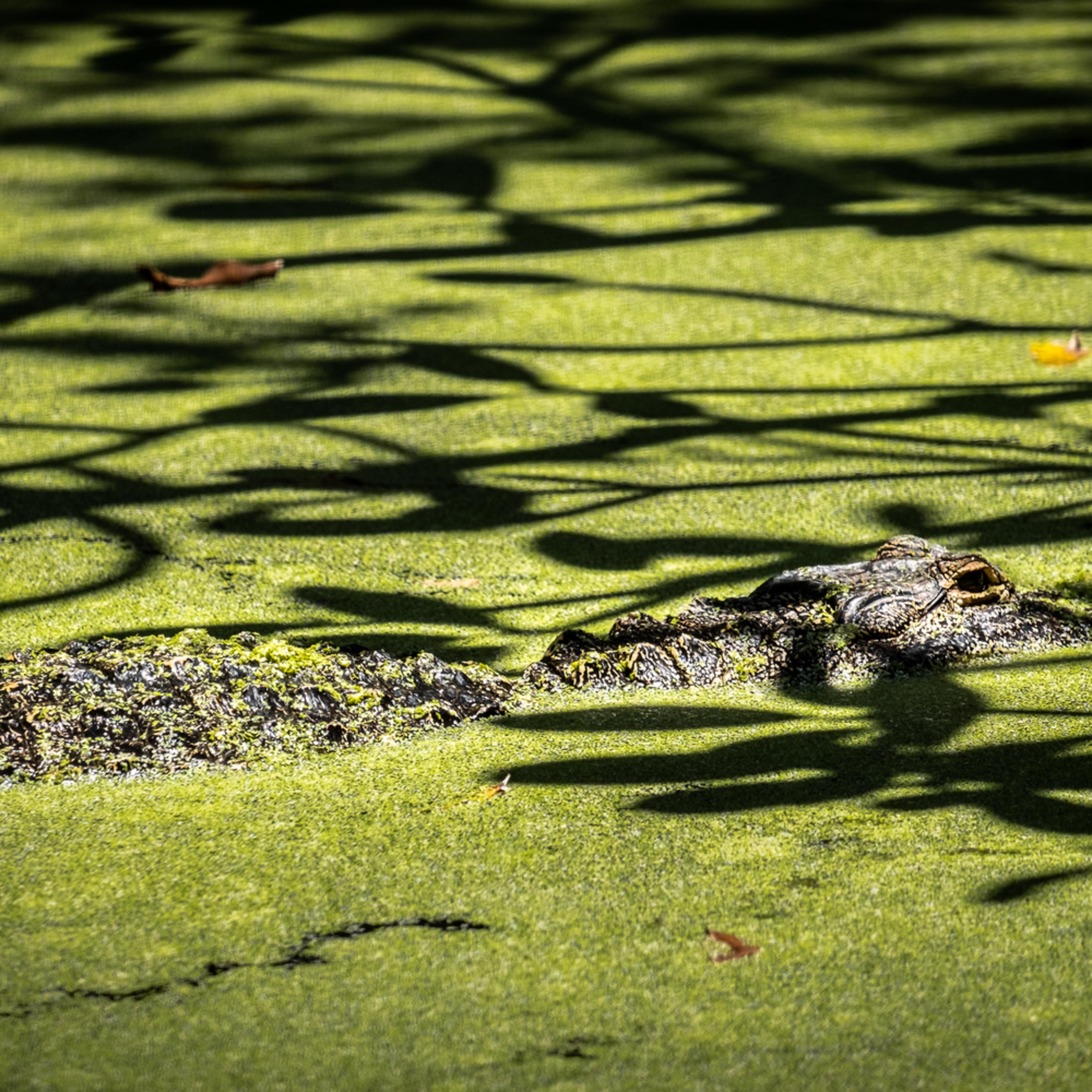 Swamp gator xiixqa
