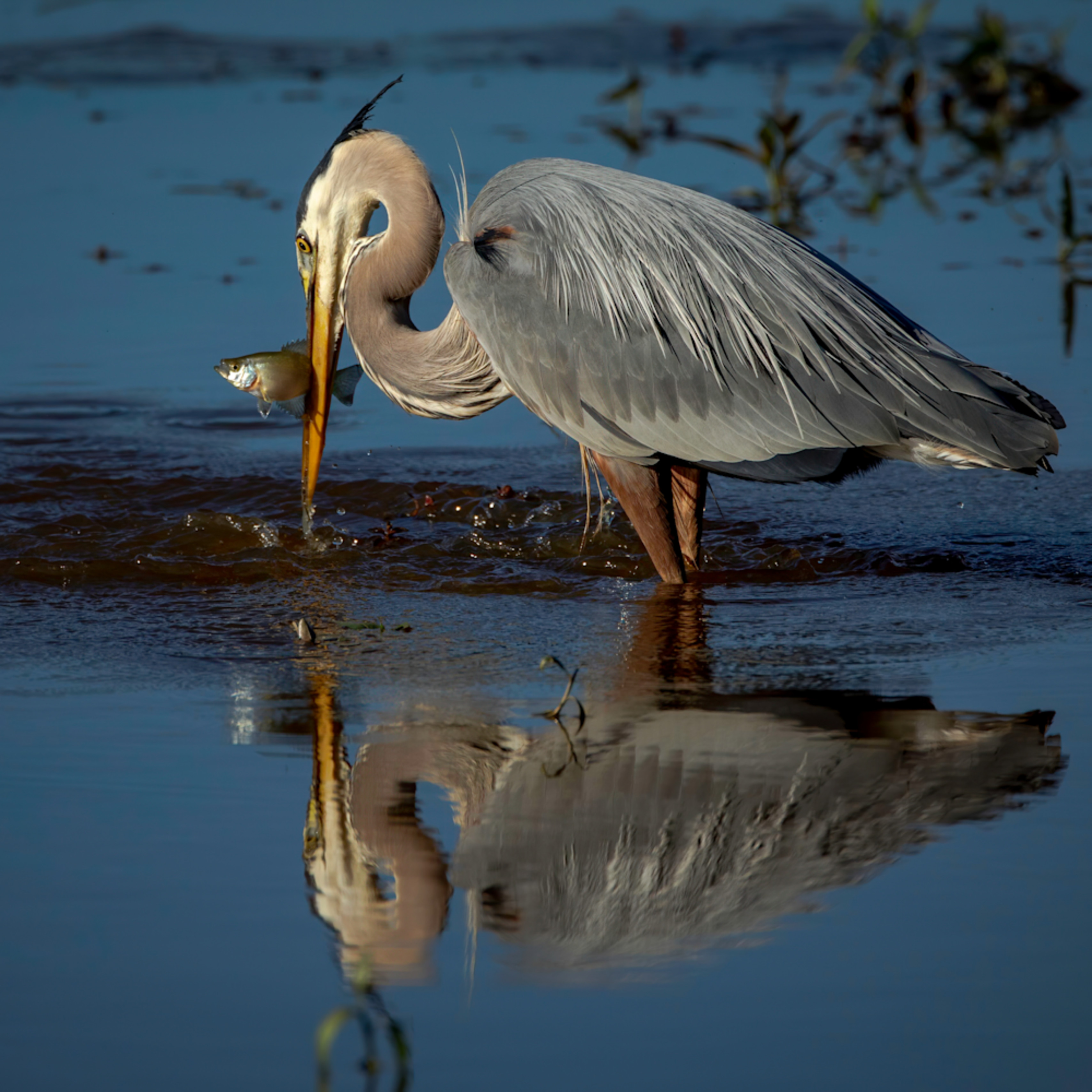 Great blue heron catches fish reflection ut727b