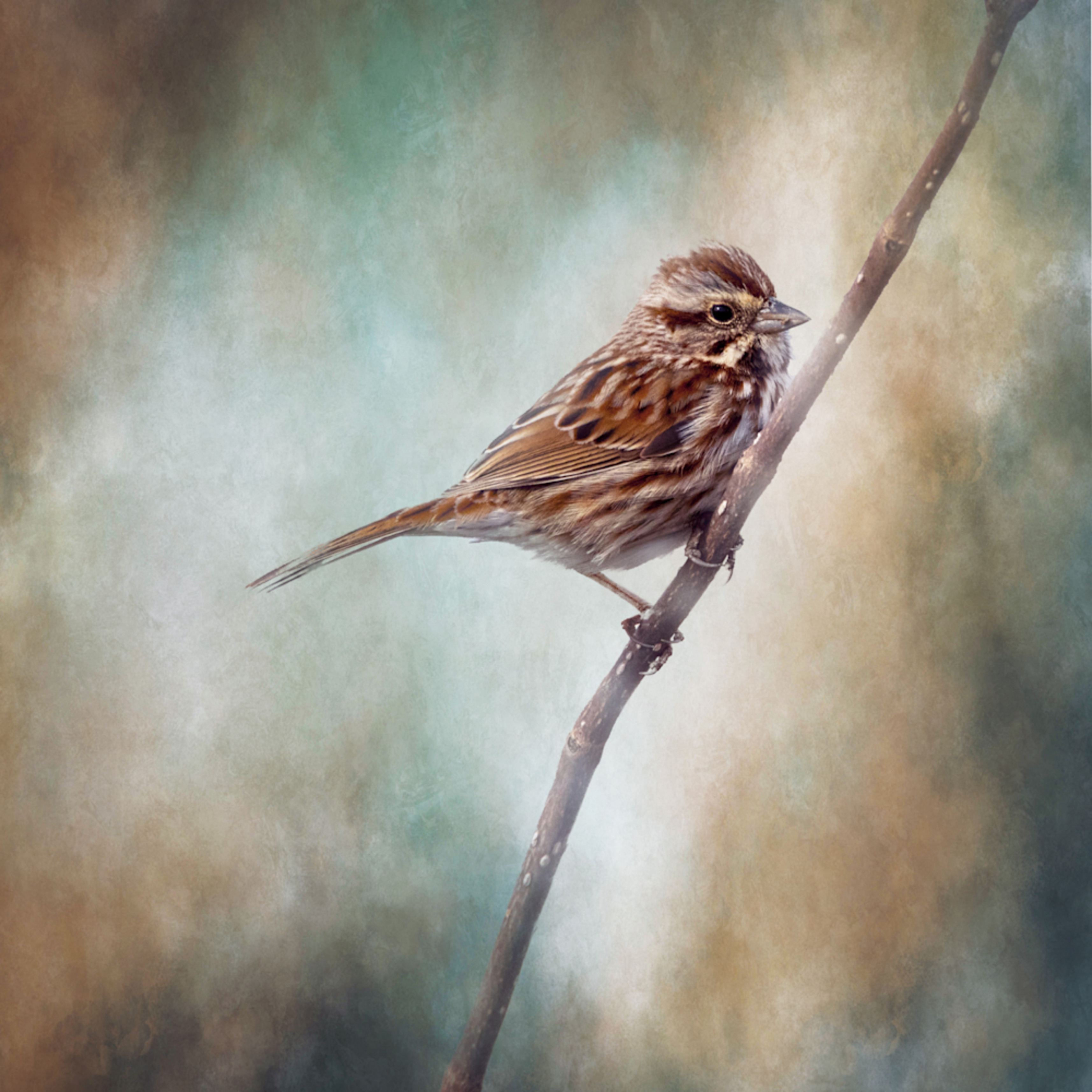 Song sparrow on textured background frxh2f