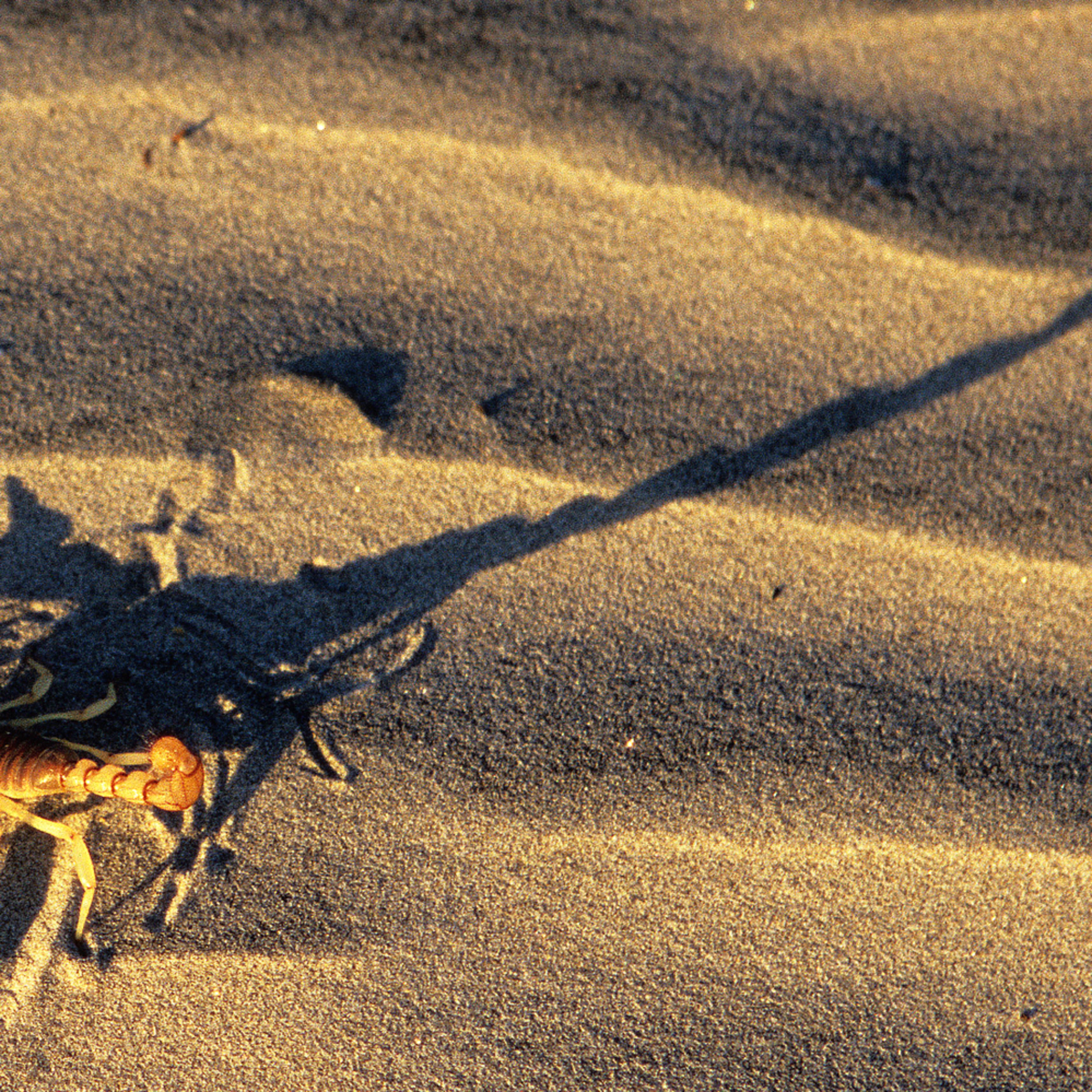 Scorpion bhseus
