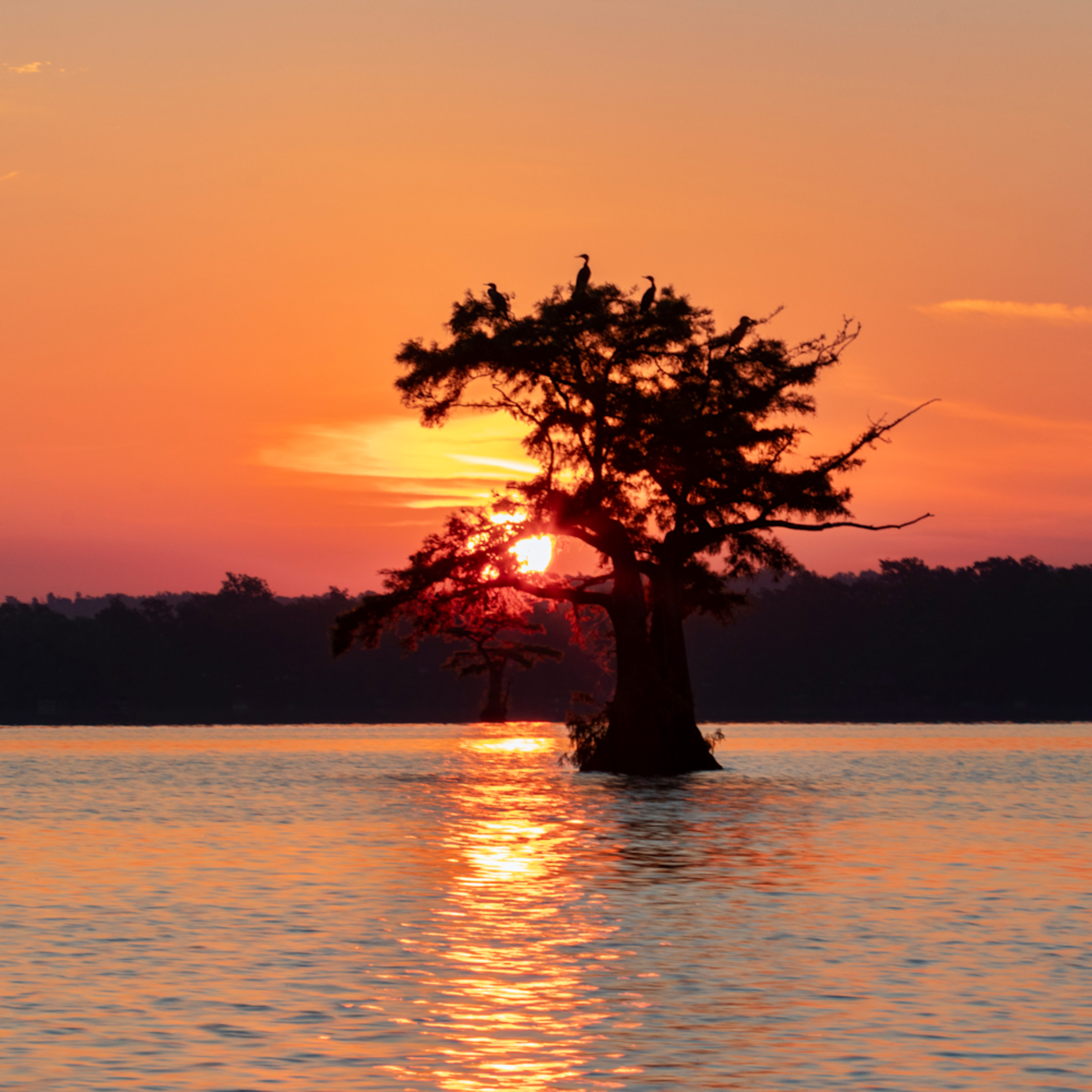 Sunsize cormorant tree  sun lower g  mg 8482 rlt20 yayq8s