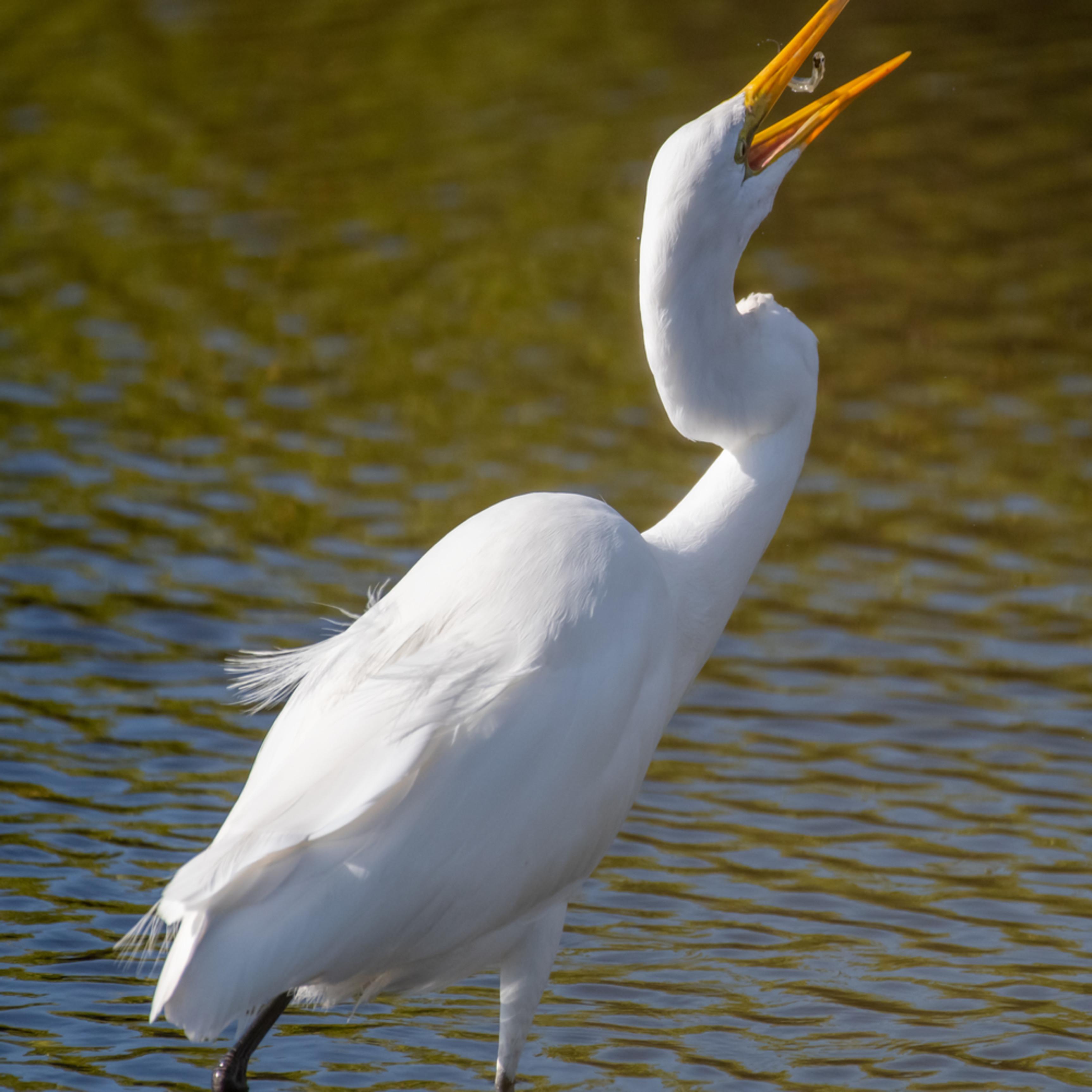 Egret portraits monty great egret asfprint fxnxze
