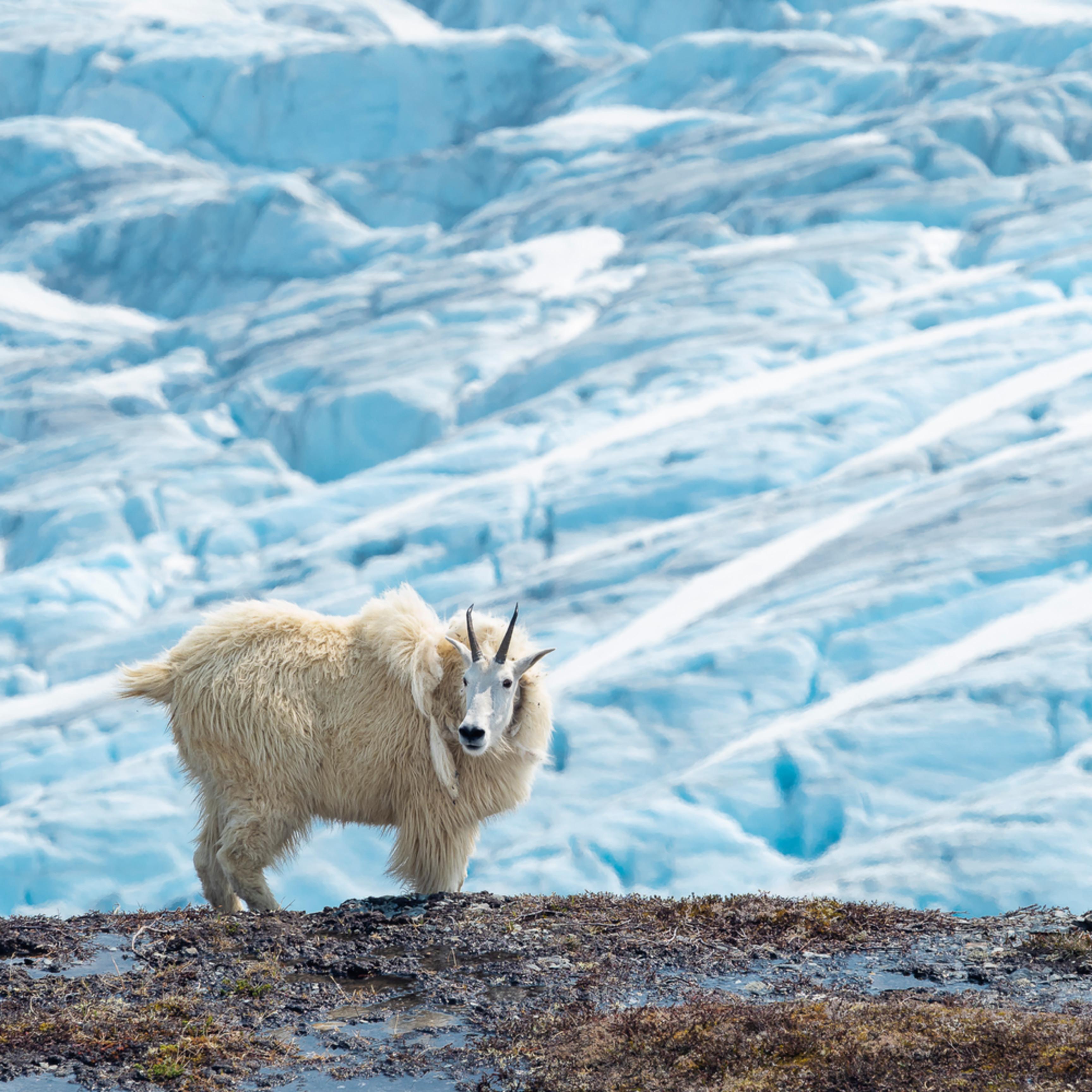 20190623 mountain goat em14833 artstorefronts vfgyys