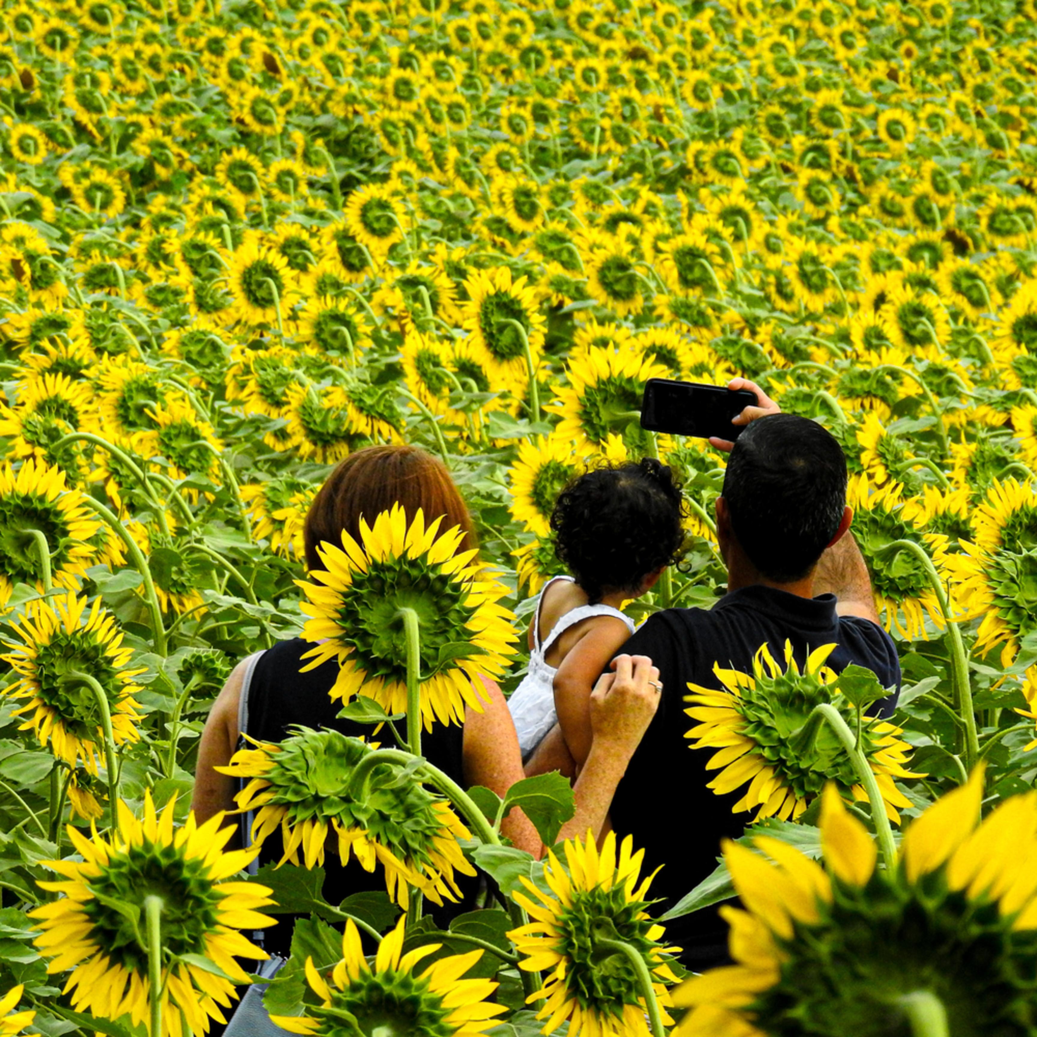 Sunflower ybkysb
