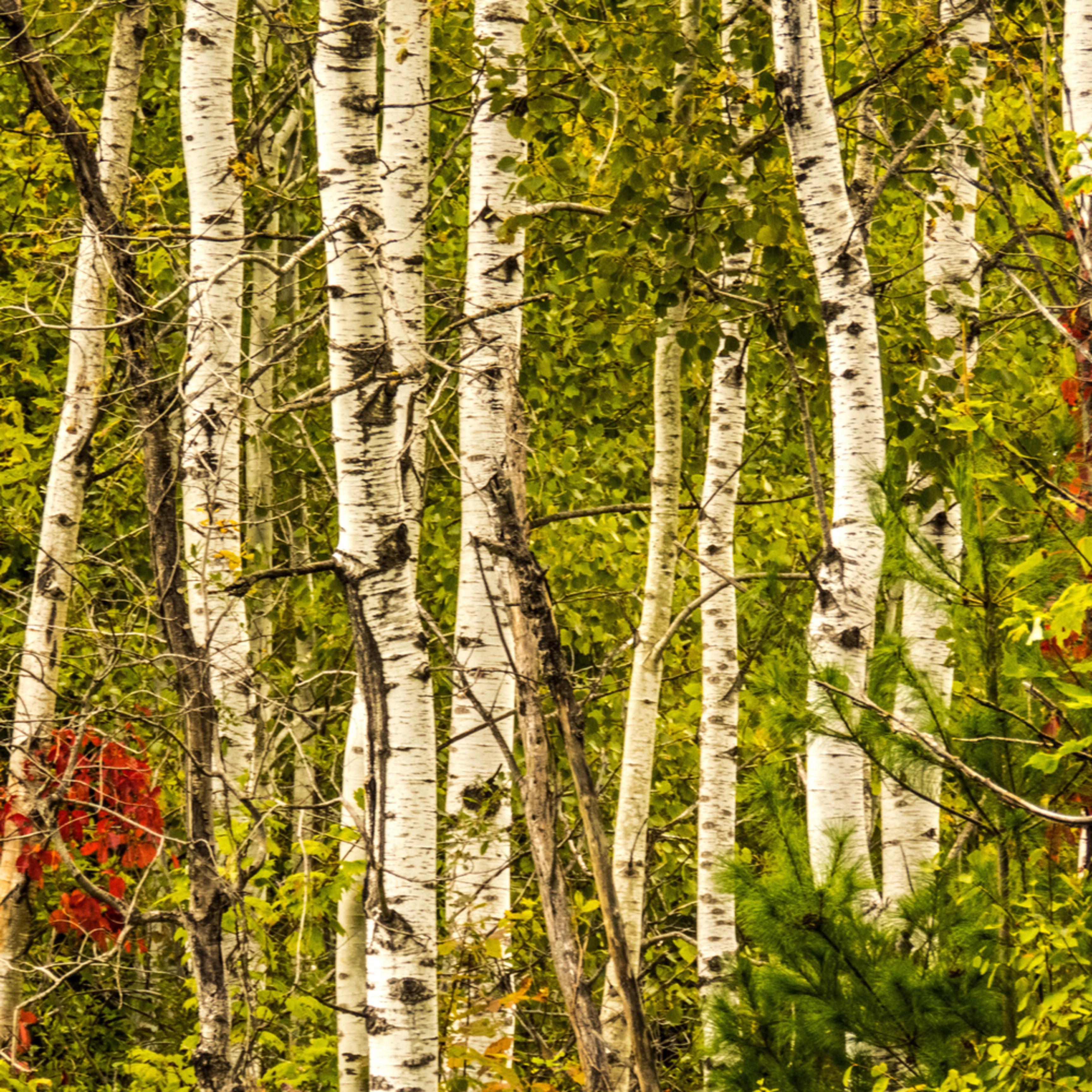 Birch trees snzyte
