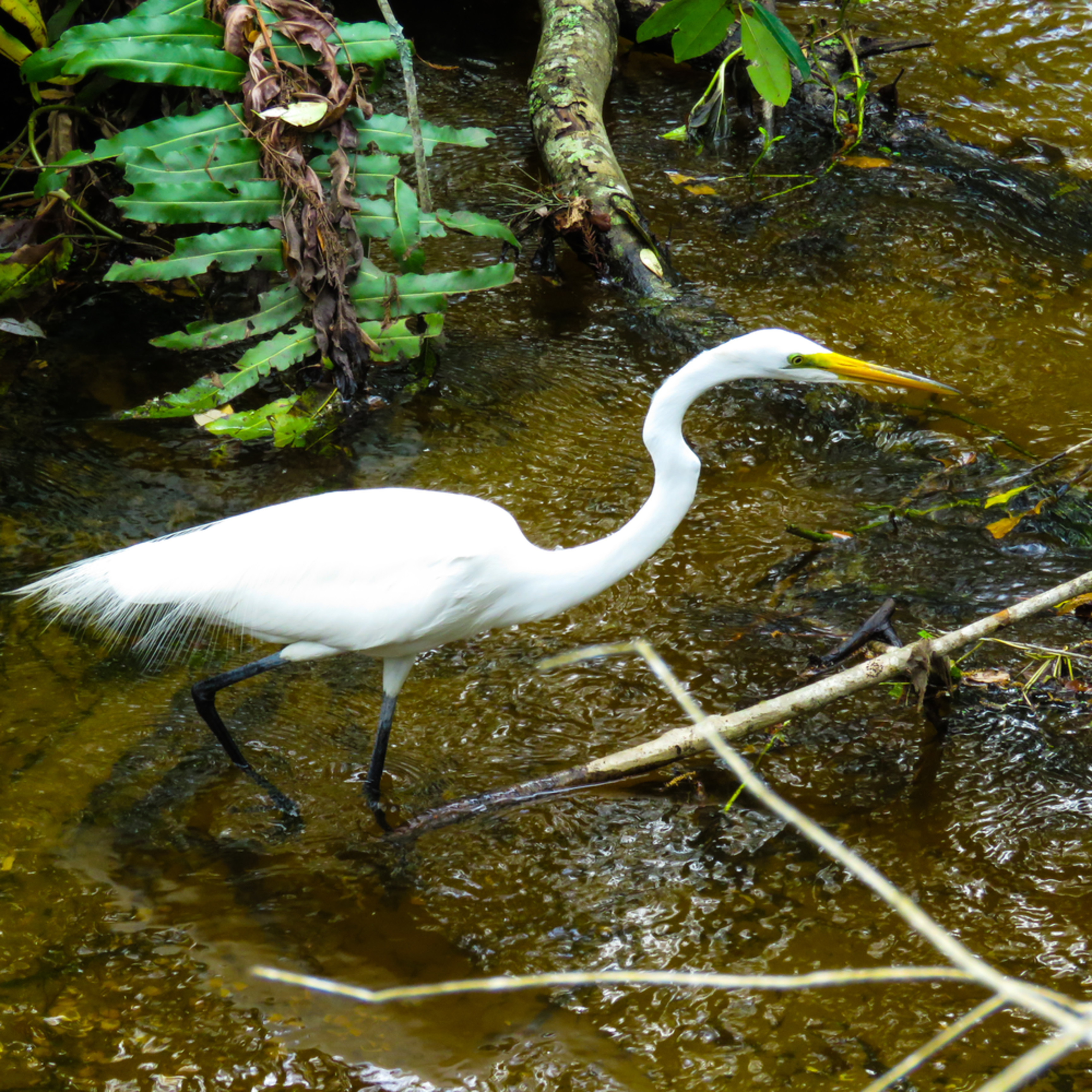 Great egret hunting qyui8b