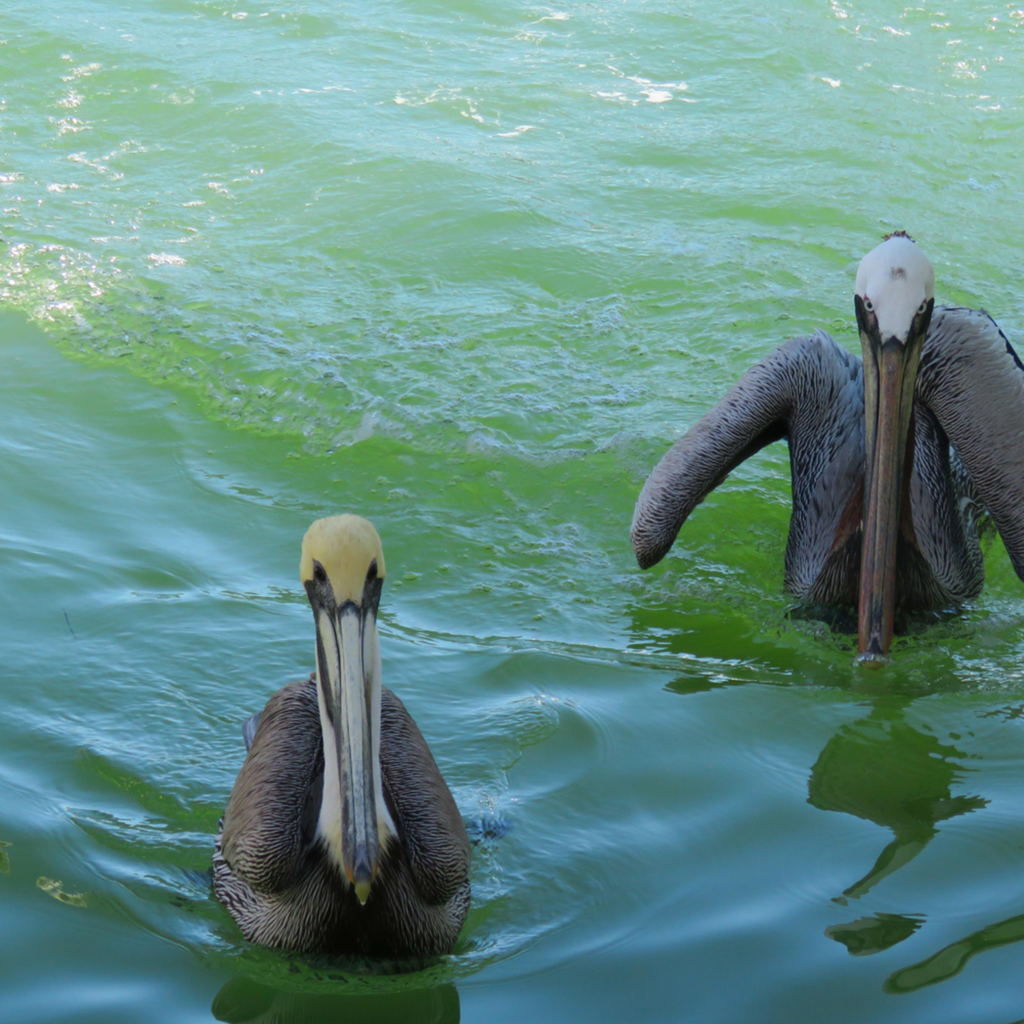 Brown pelicans mooching dwwxqu