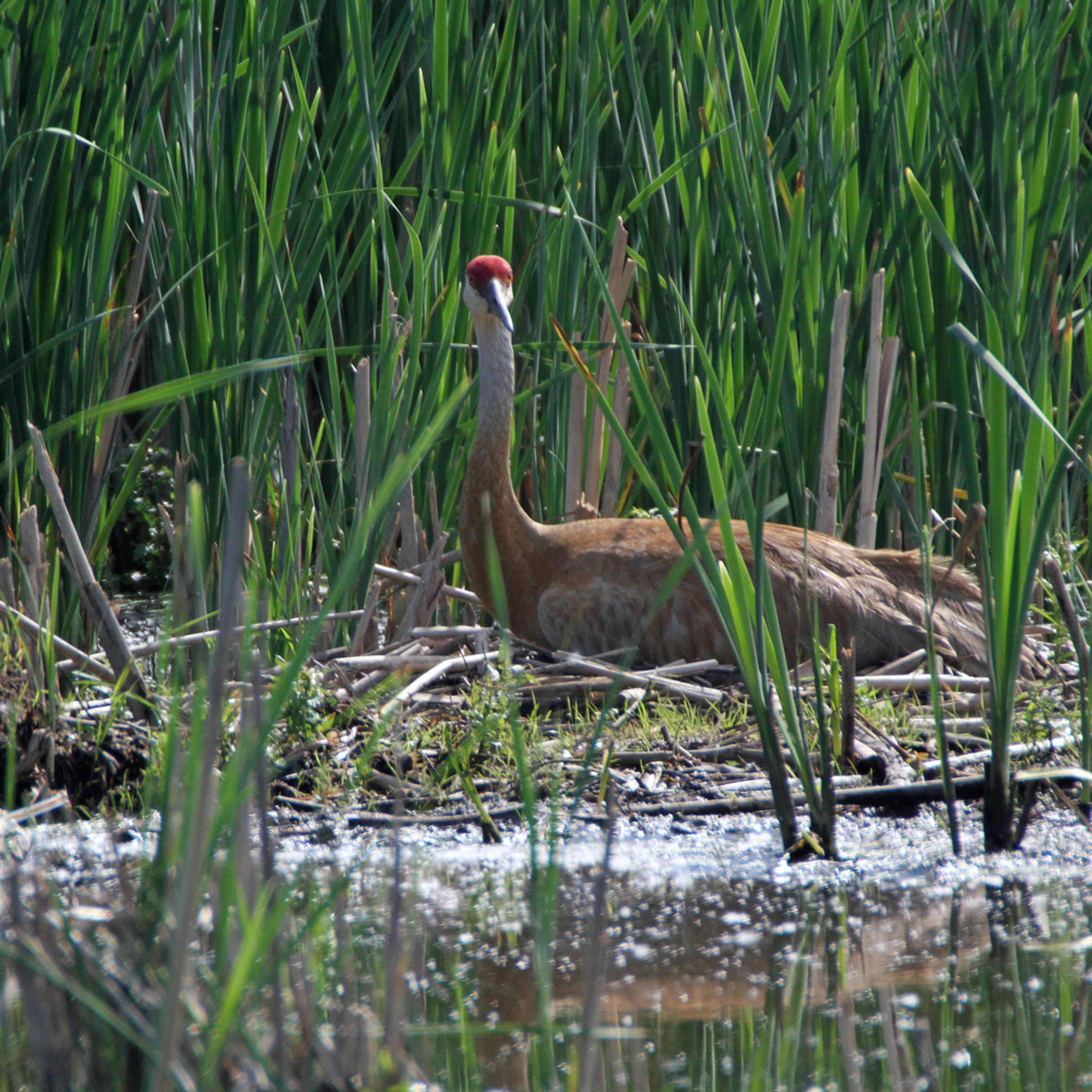 Nesting sandhill crane bppwsq