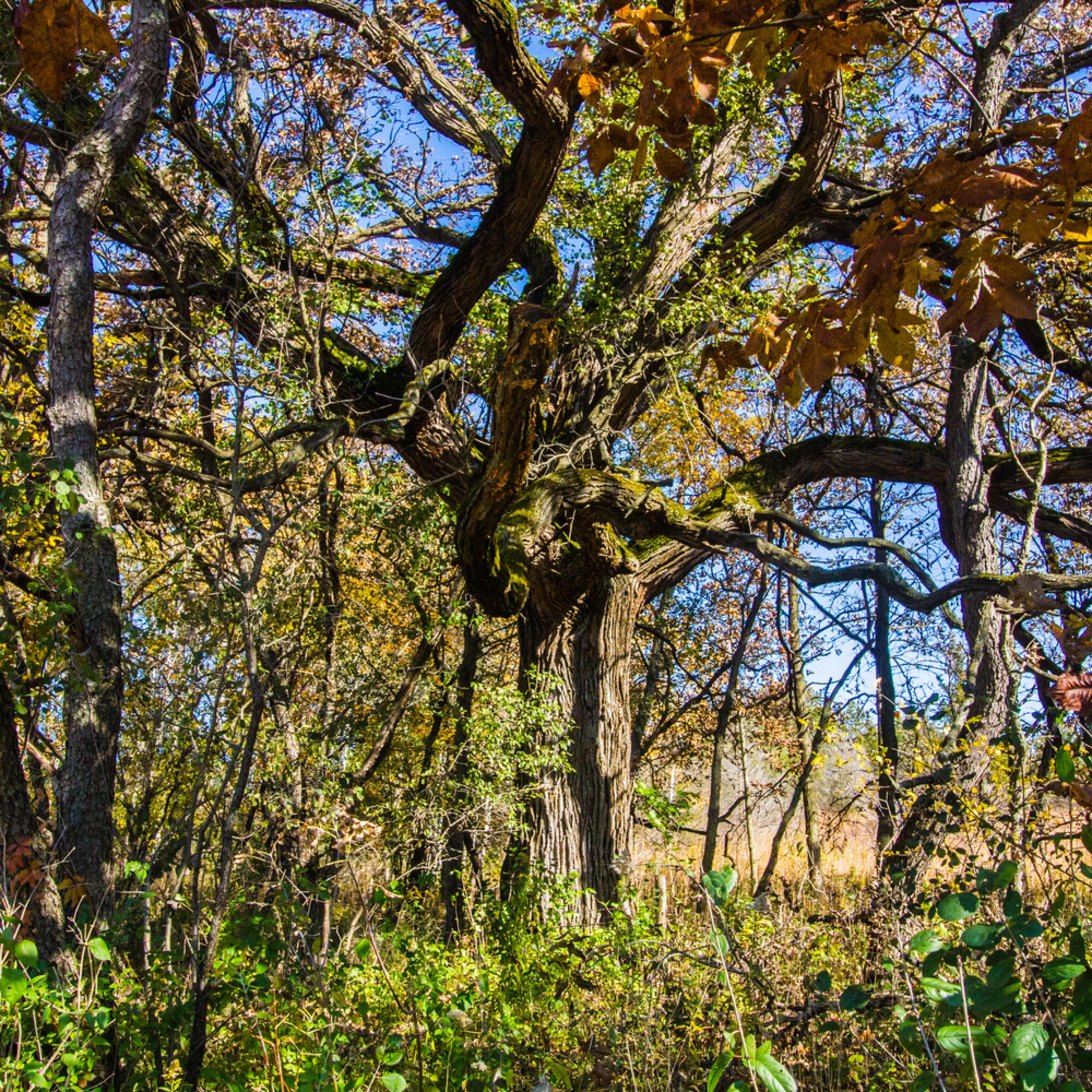 Old burr oak tree gkuf7o