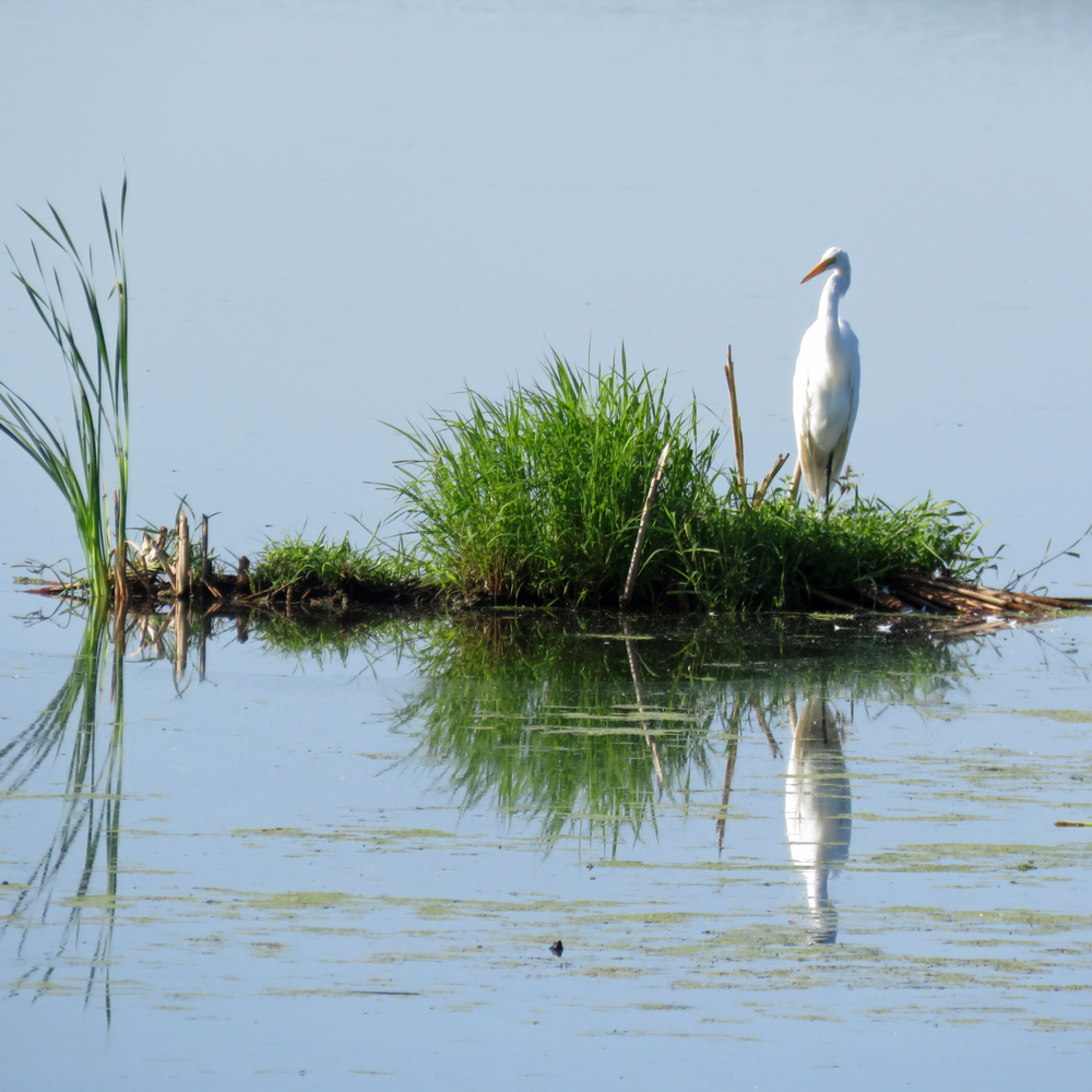 Reflections great egret o5cw5s
