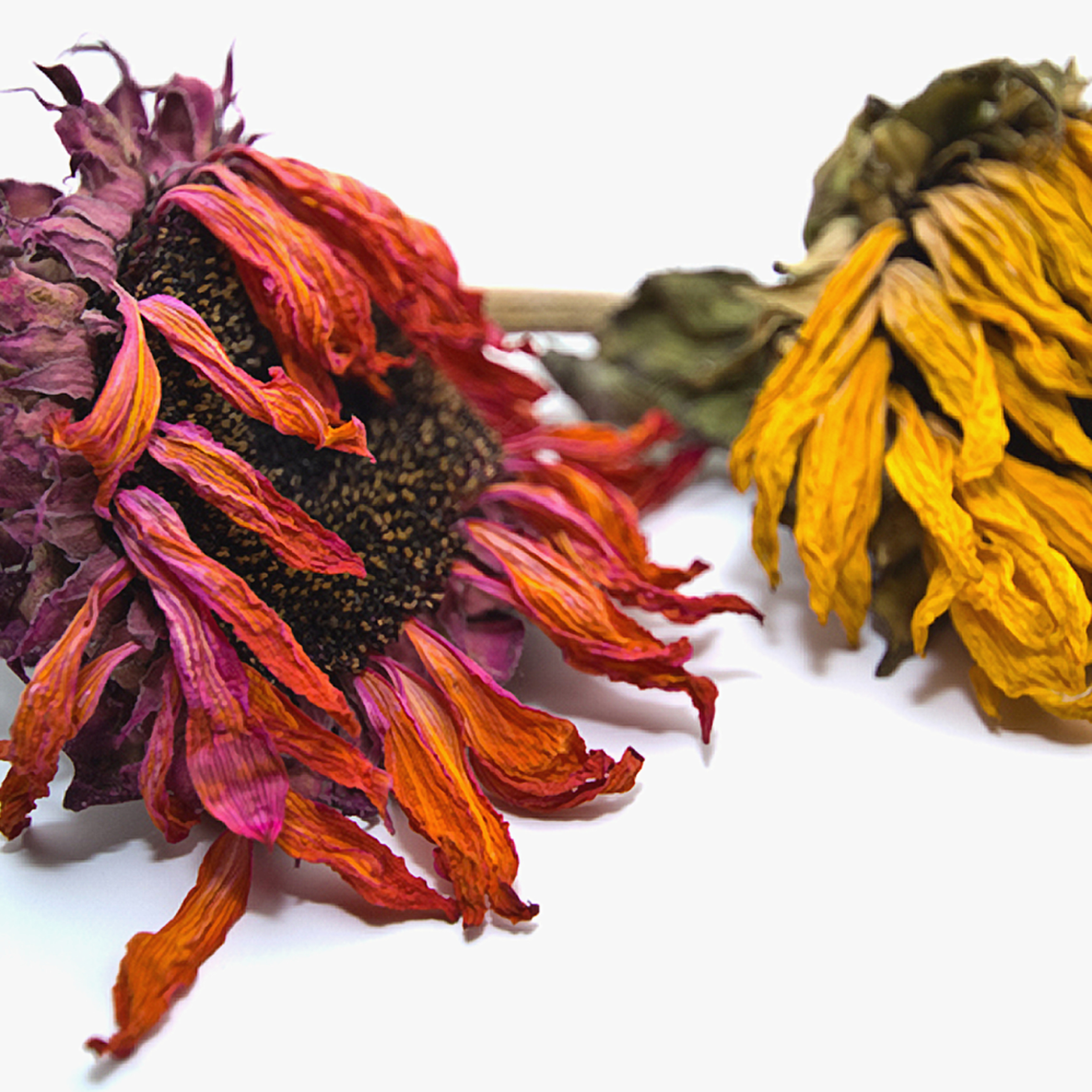 Sunflower besties sig jl8umz