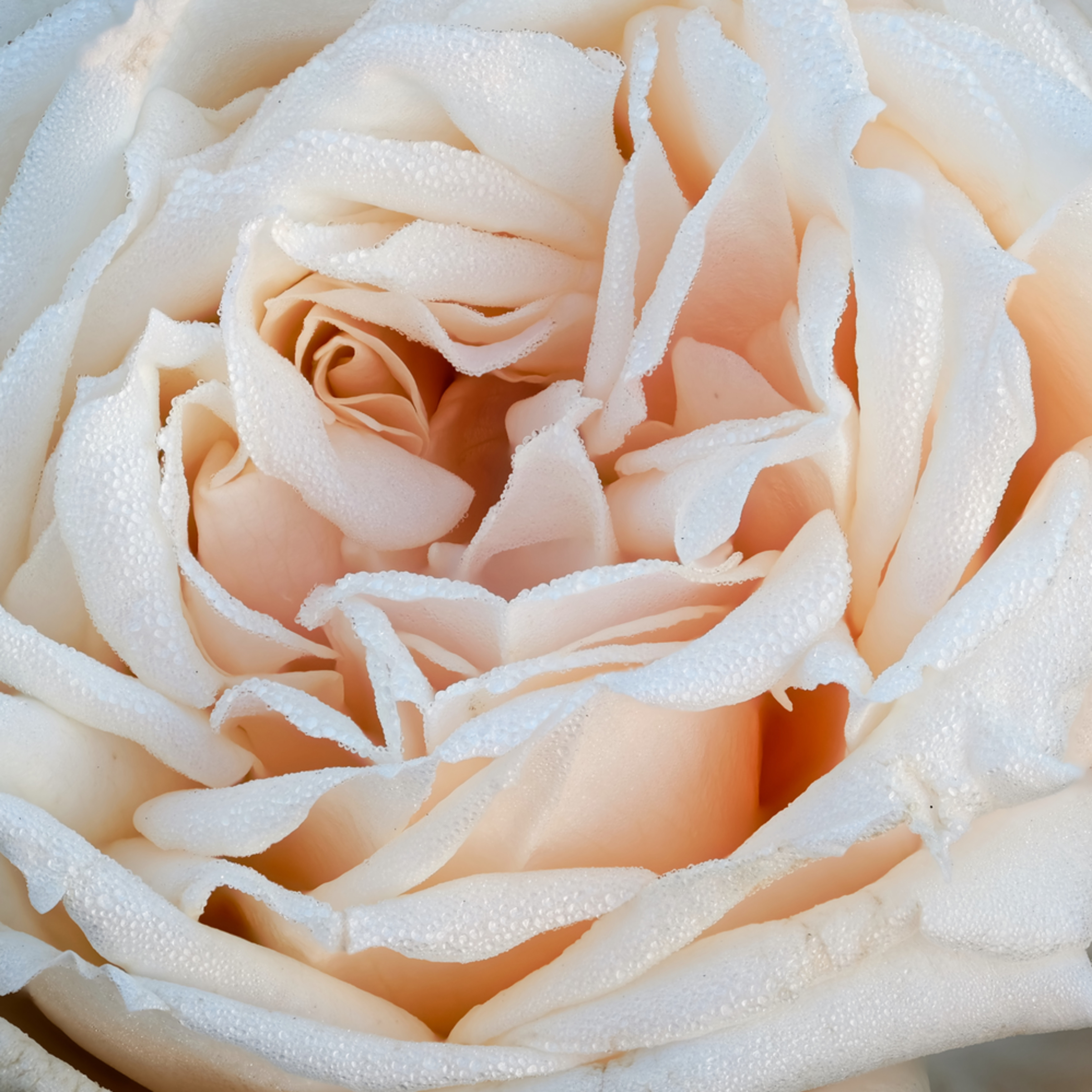 Rose focus 25 tyqhh8