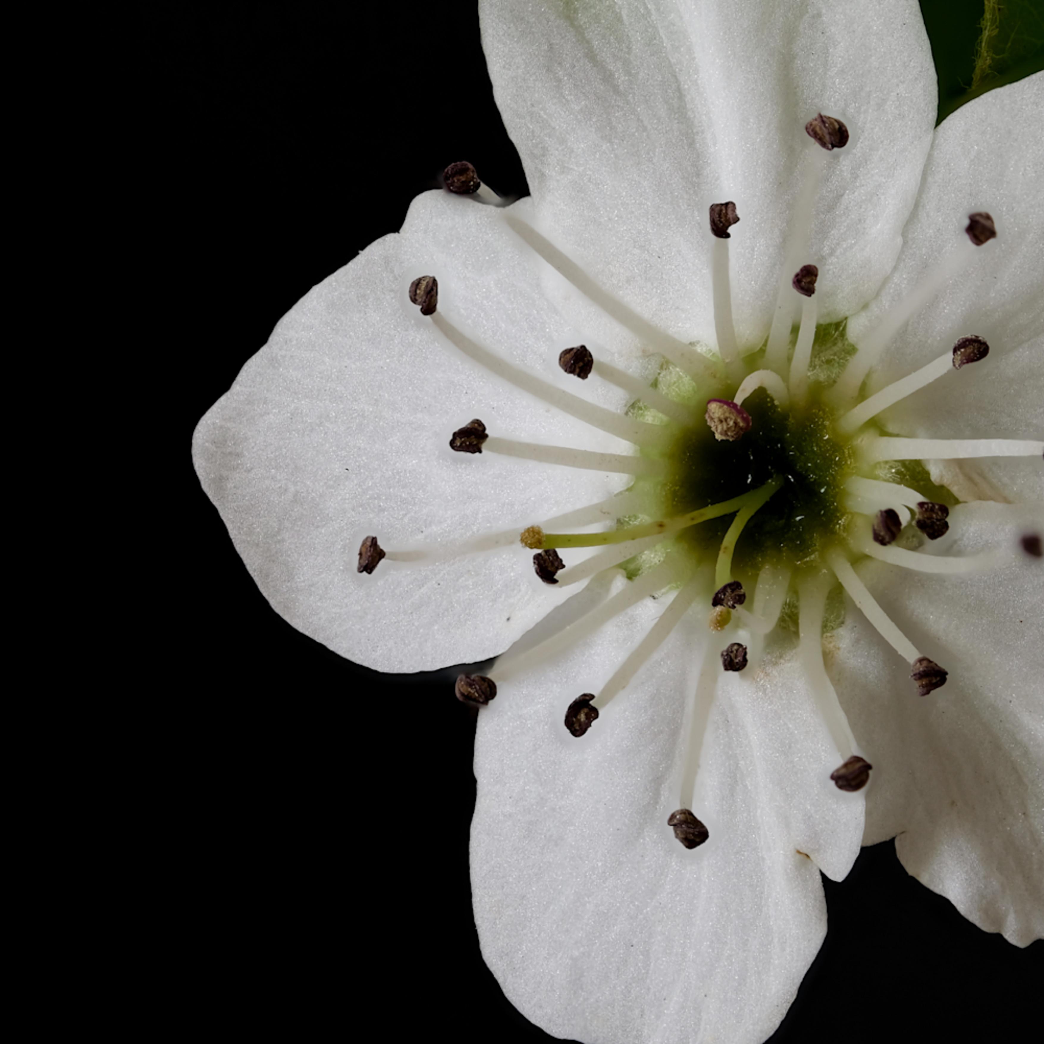 Blossoms focus 2 atsbwf