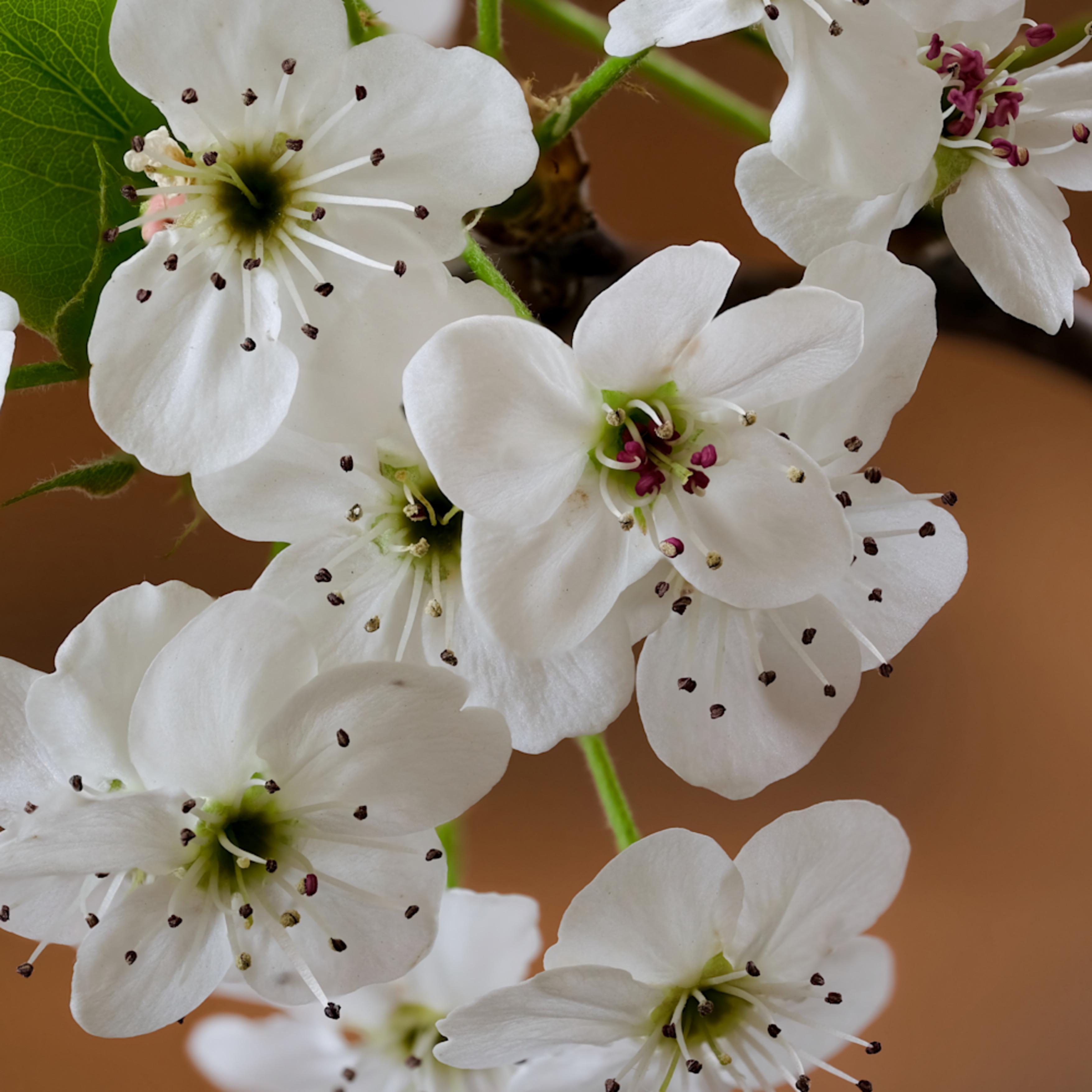 Blossoms focus 5 lqbo10