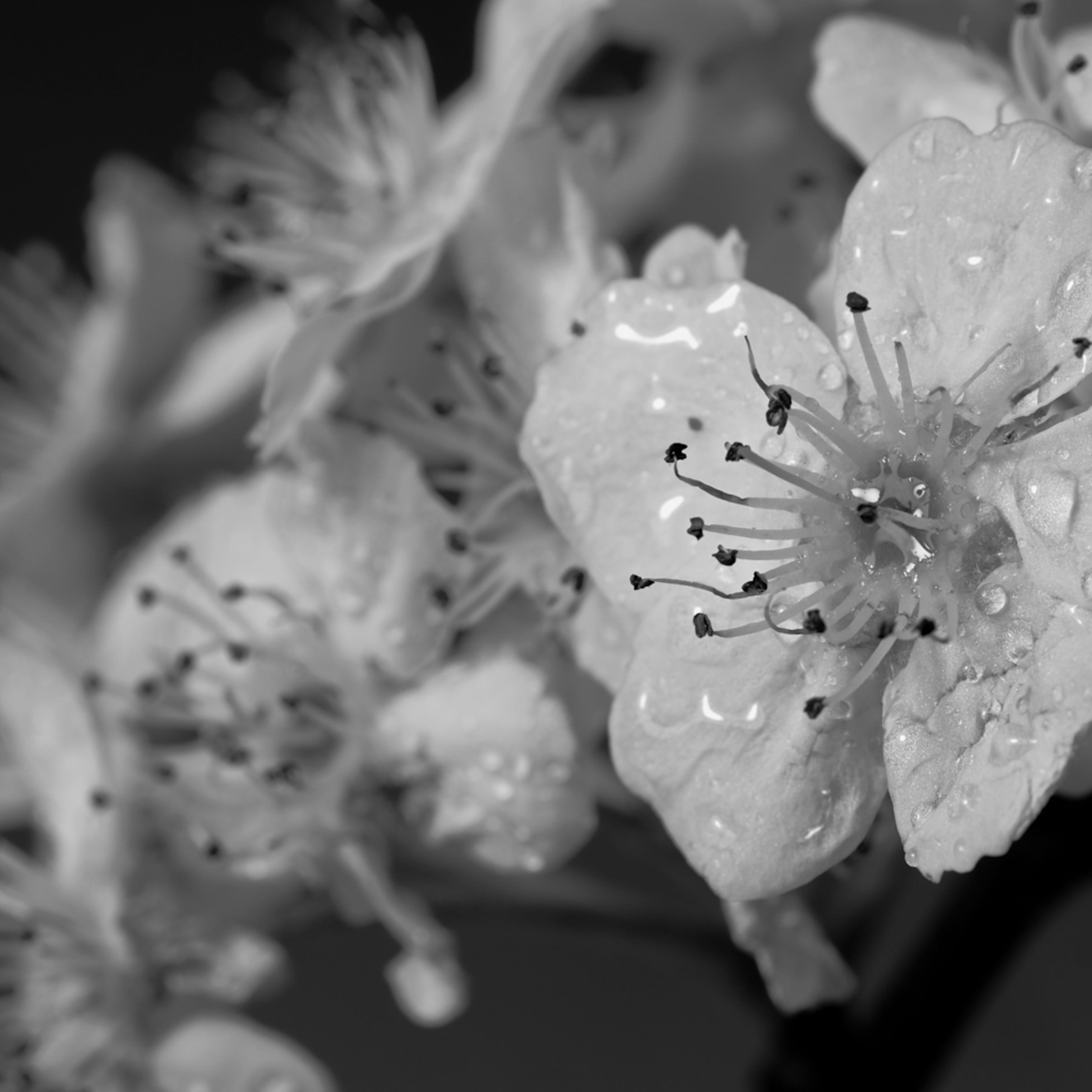 Blossums   b w 2 avdtey