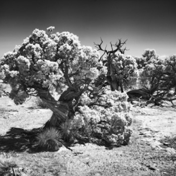 Infrared canyonlands tree 566 koral martin ipper4