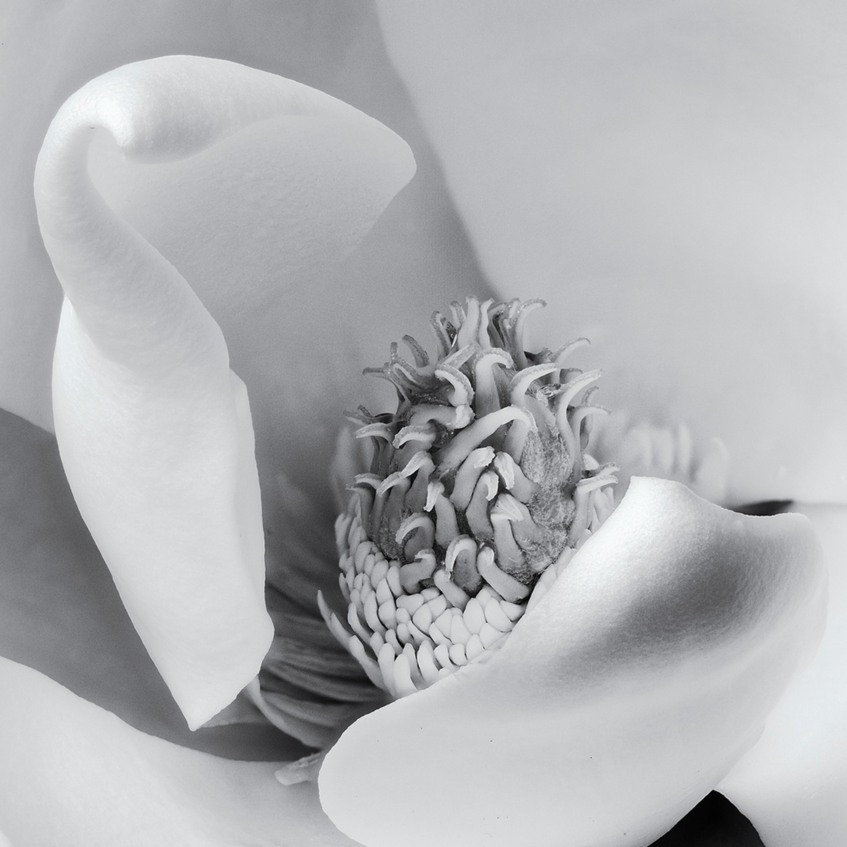 Magnolia pistil 2 bv8mww