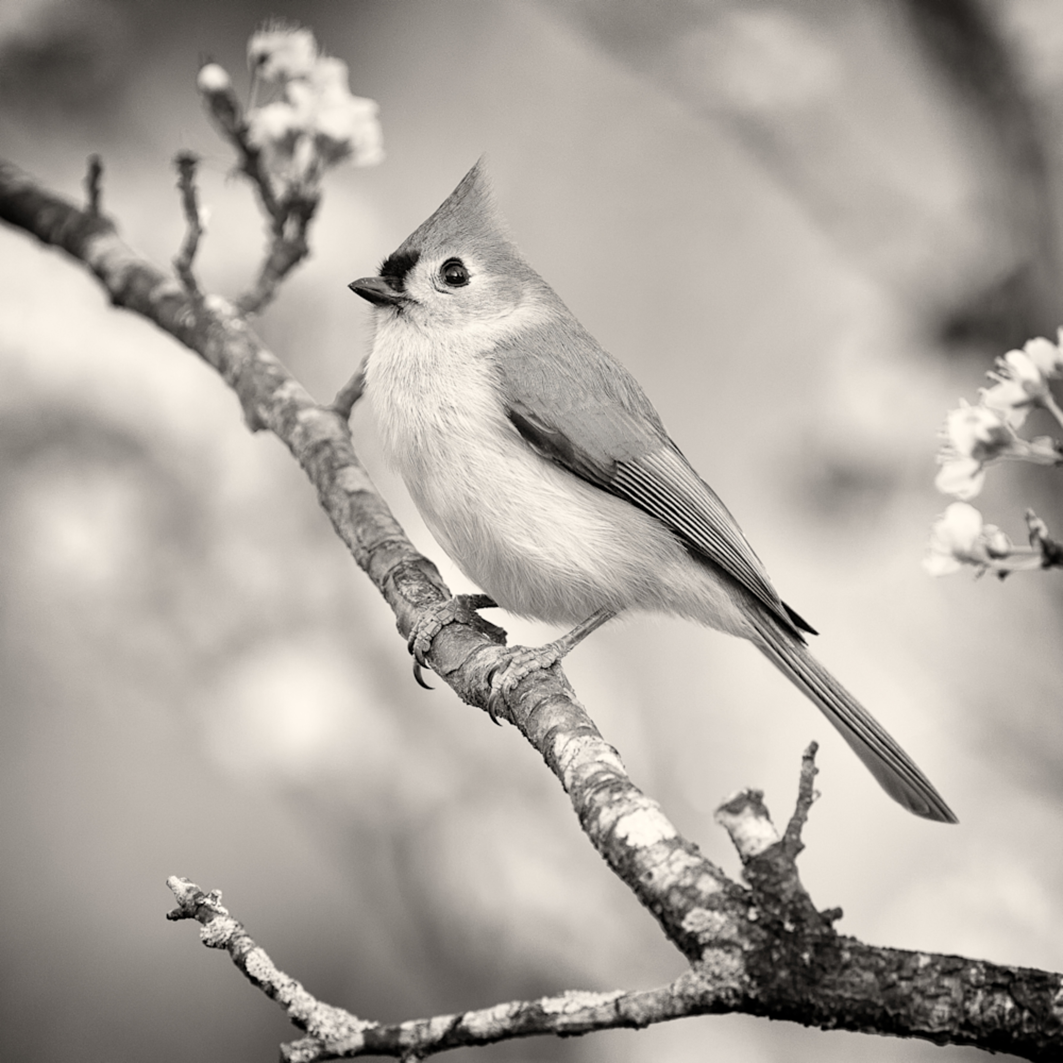 Forsyth county tuted titmouse bw coffee toned qjuyio