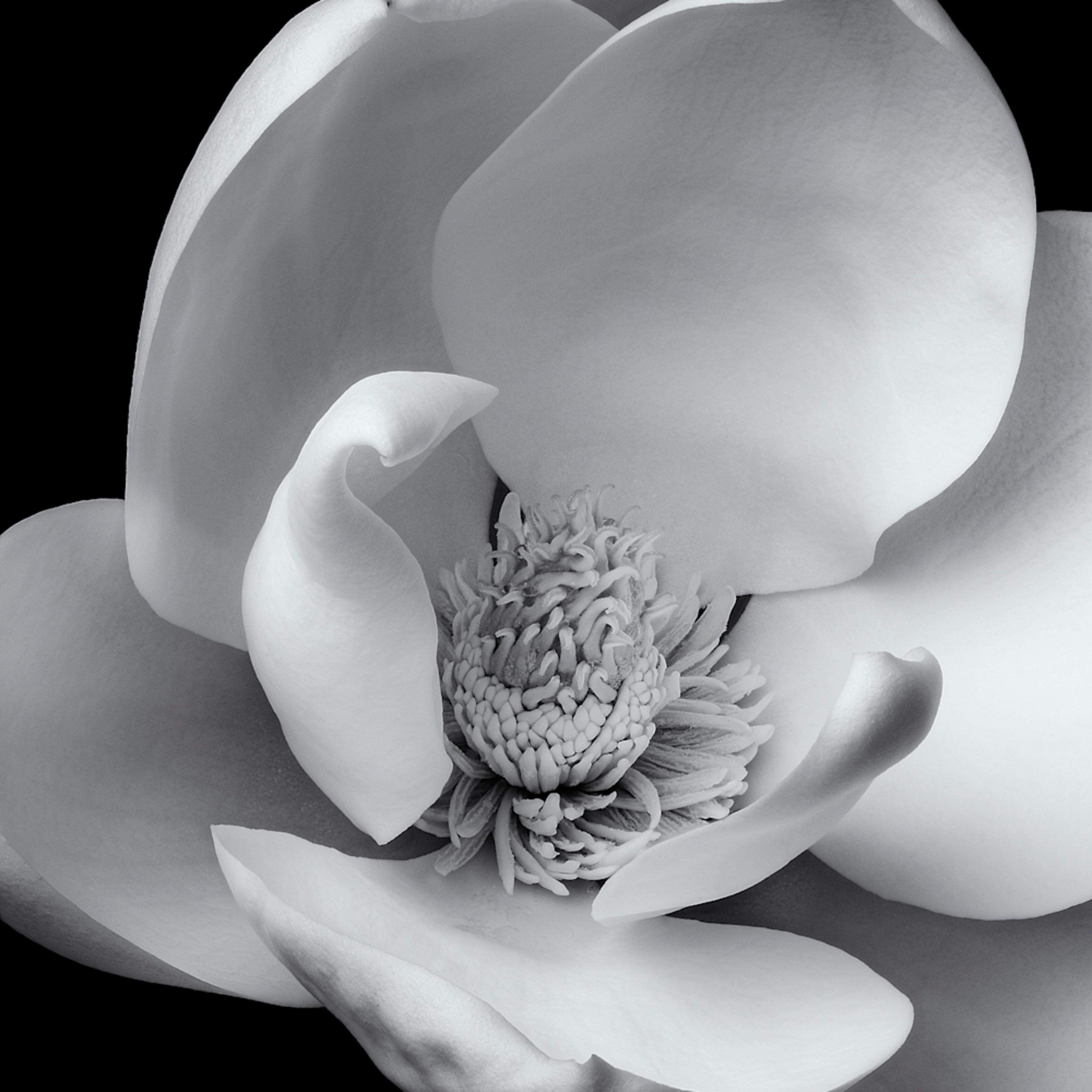 Magnolia bloom sz1swp