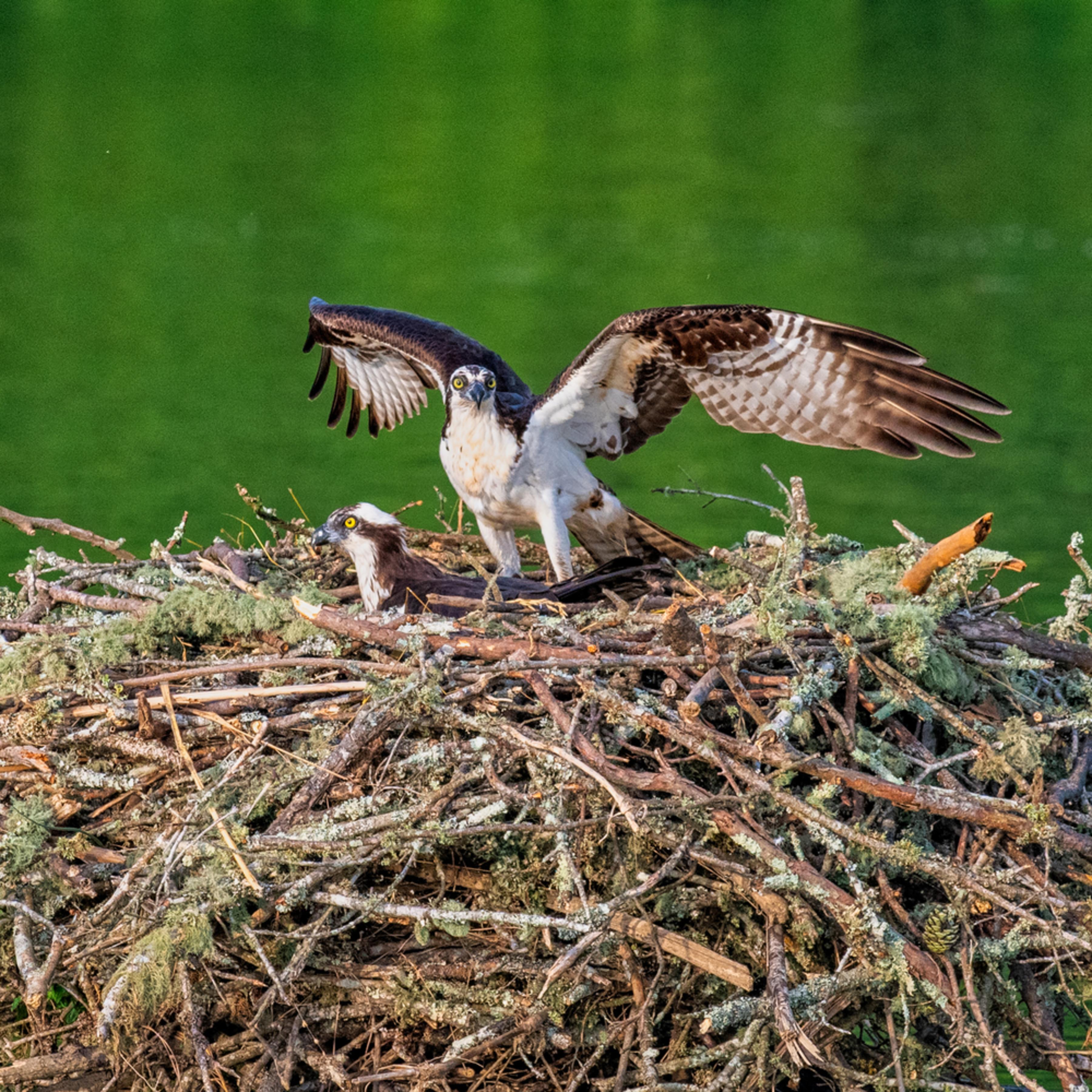 Andy crawford photography osprey 008 jlnbgo