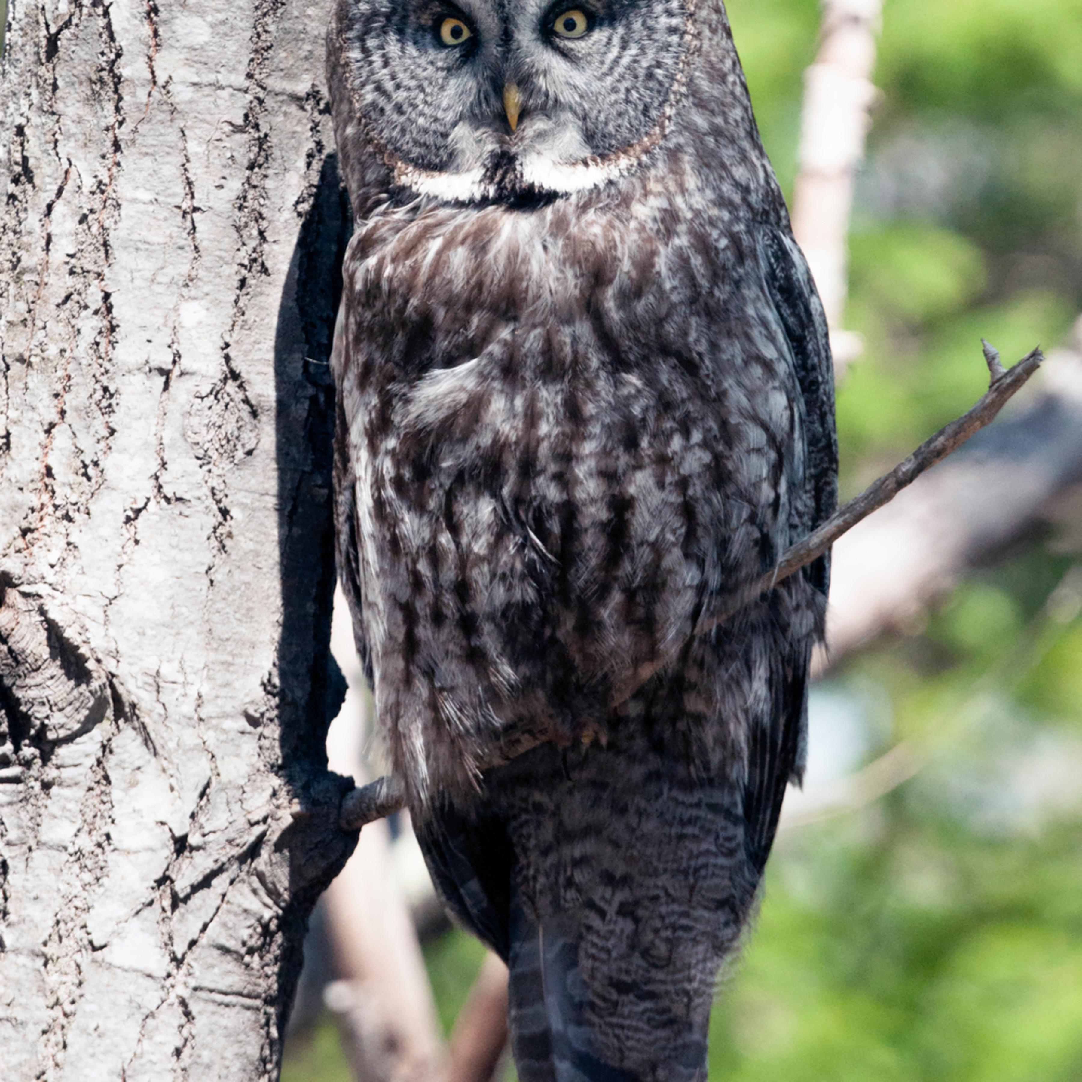 Great grey owl iwroj7