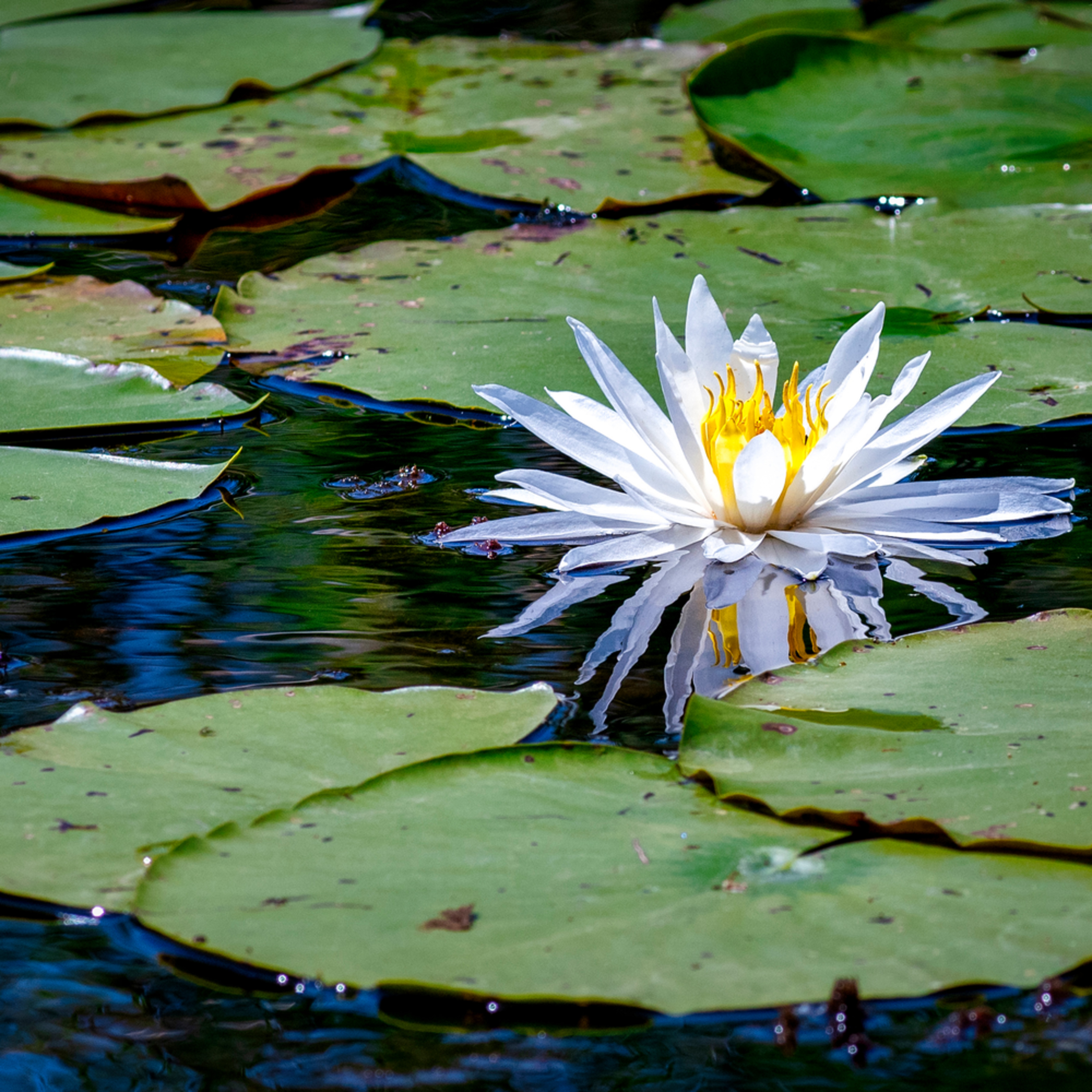 Andy crawford photography lotus blossom 1 y4xyys