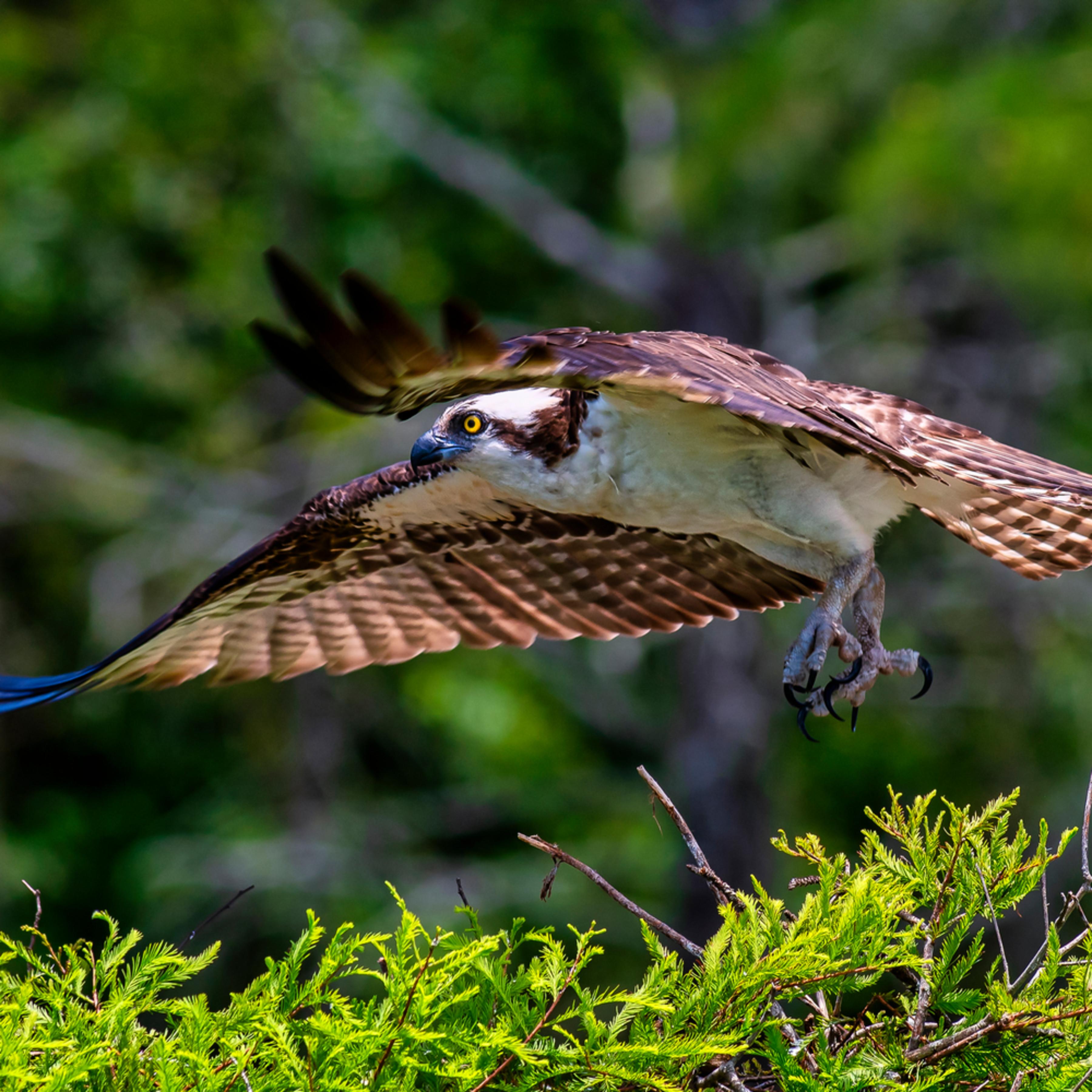 Andy crawford photography osprey liftoff dfuzpz