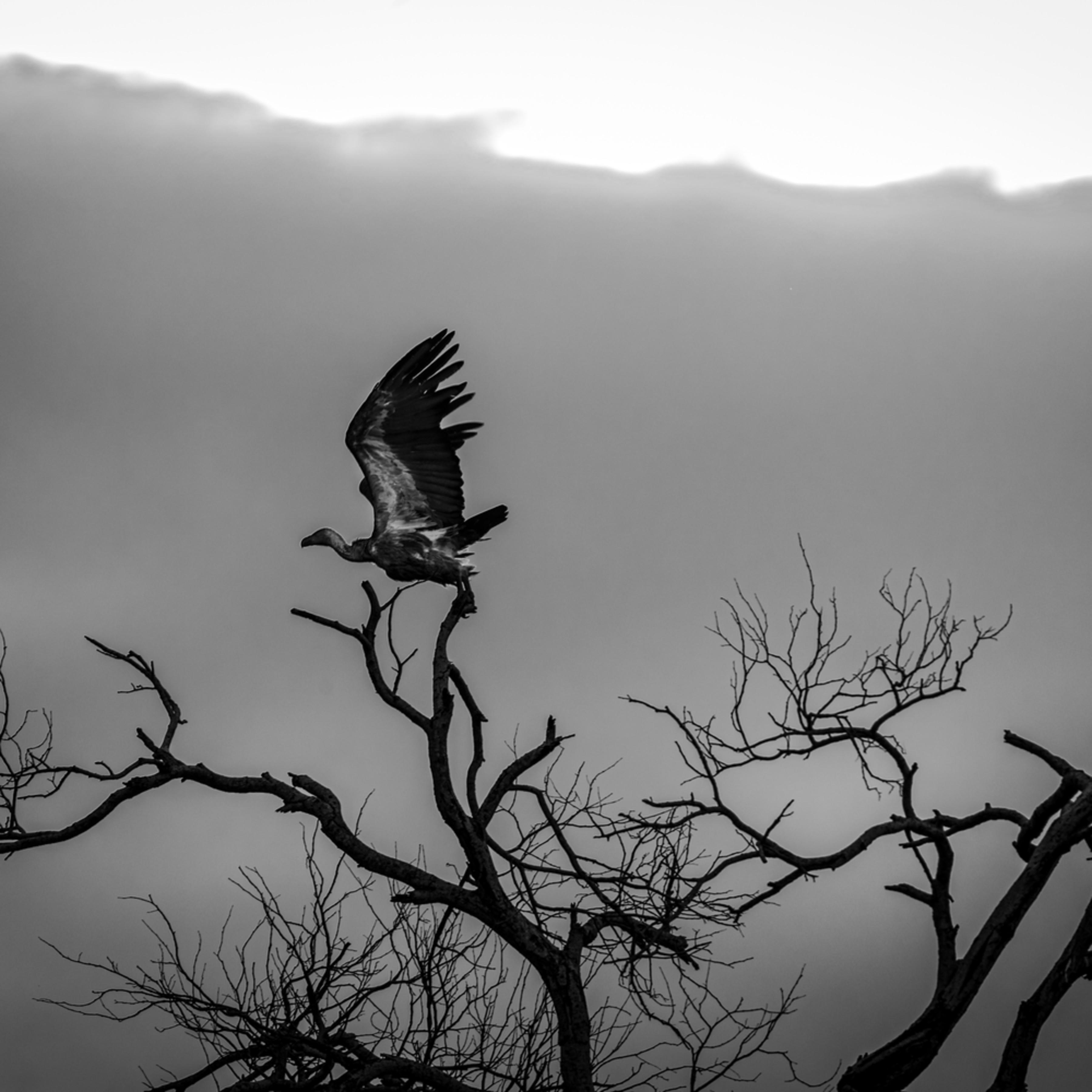 Cape griffon vulture 12x18 sig xp9iih