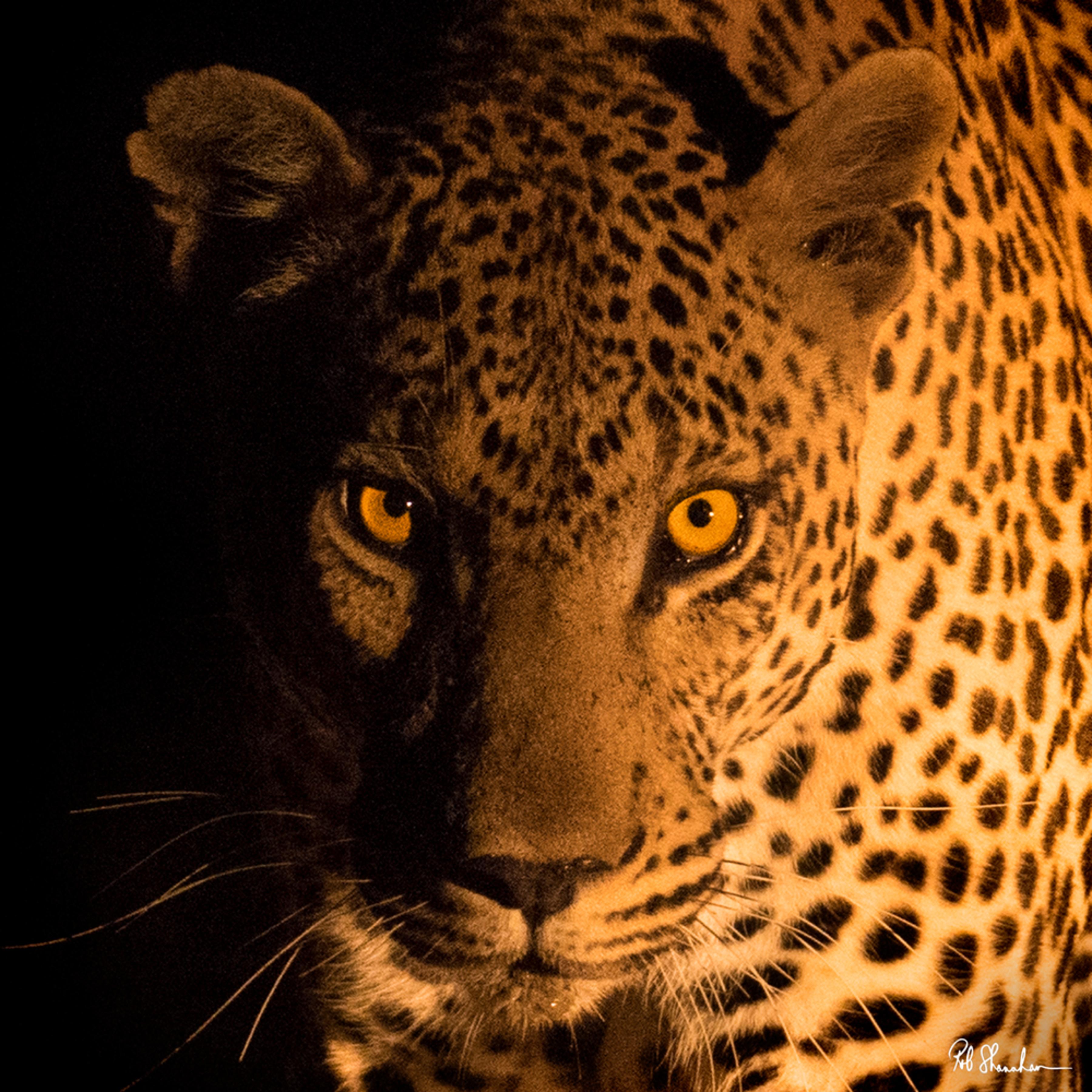 Leopard stare square 12x12 sig fktoak