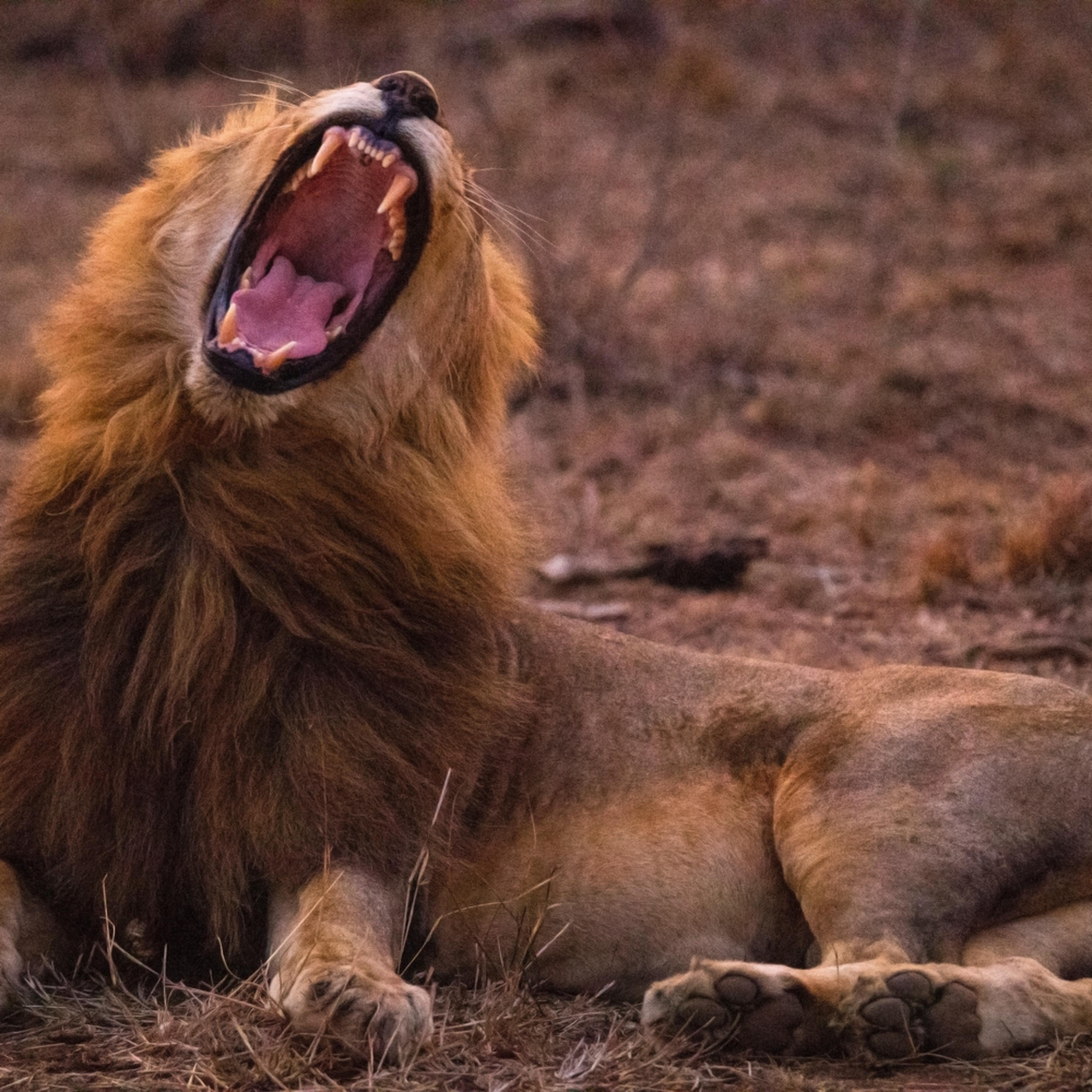 Lion yawn 12x18 sig iuttkk