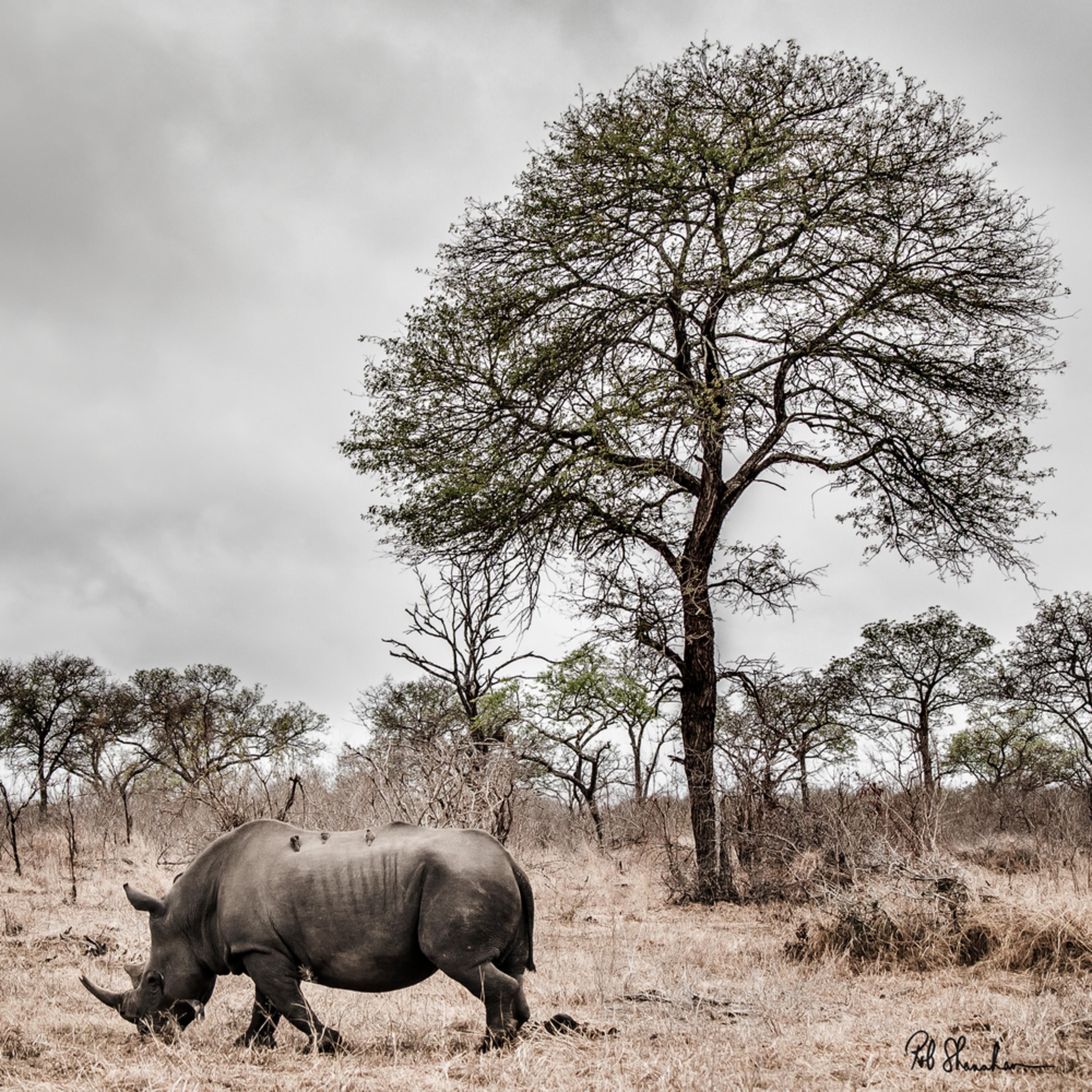Rhinocerous square 12x18 sig pior58
