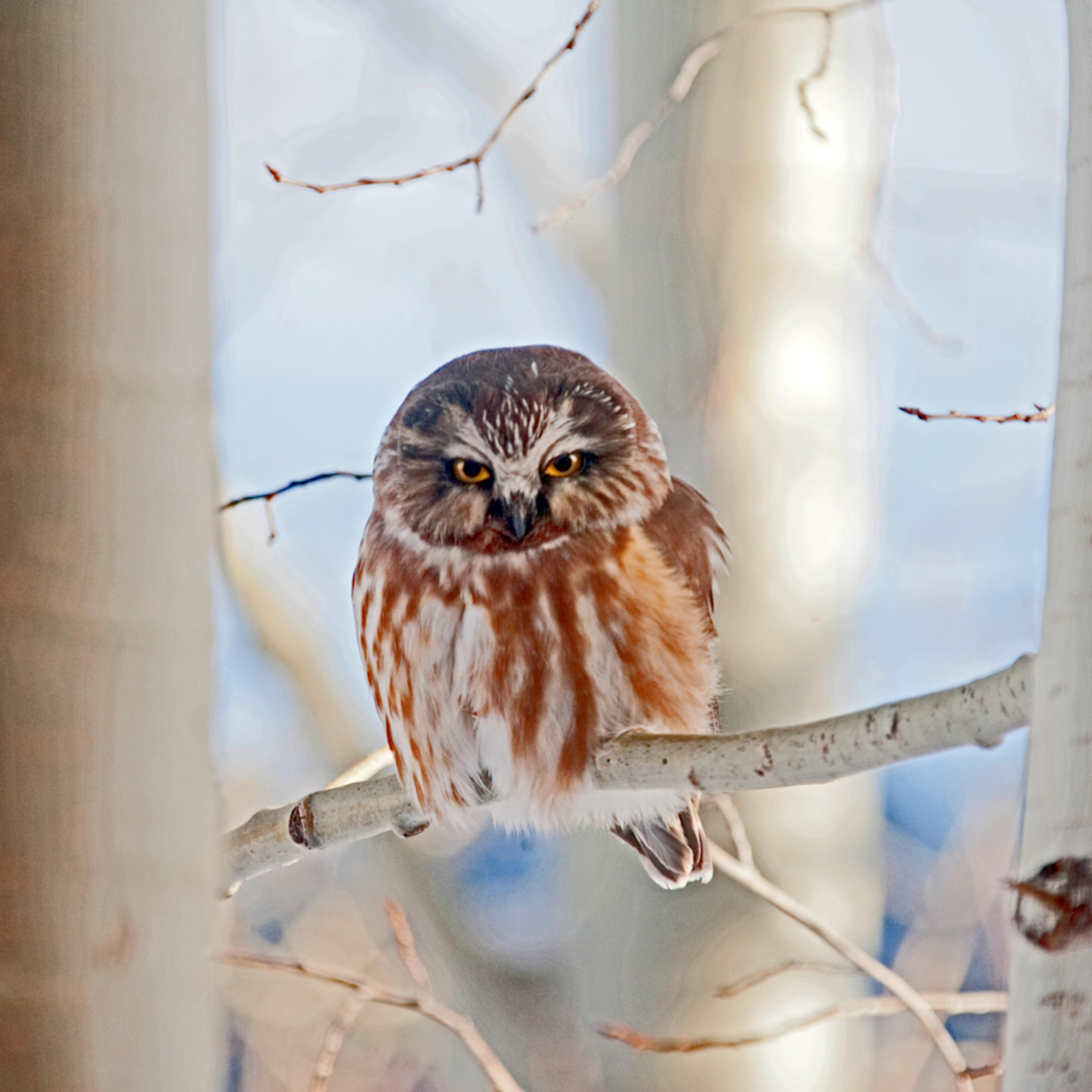 Saw whet owl nsmzzl