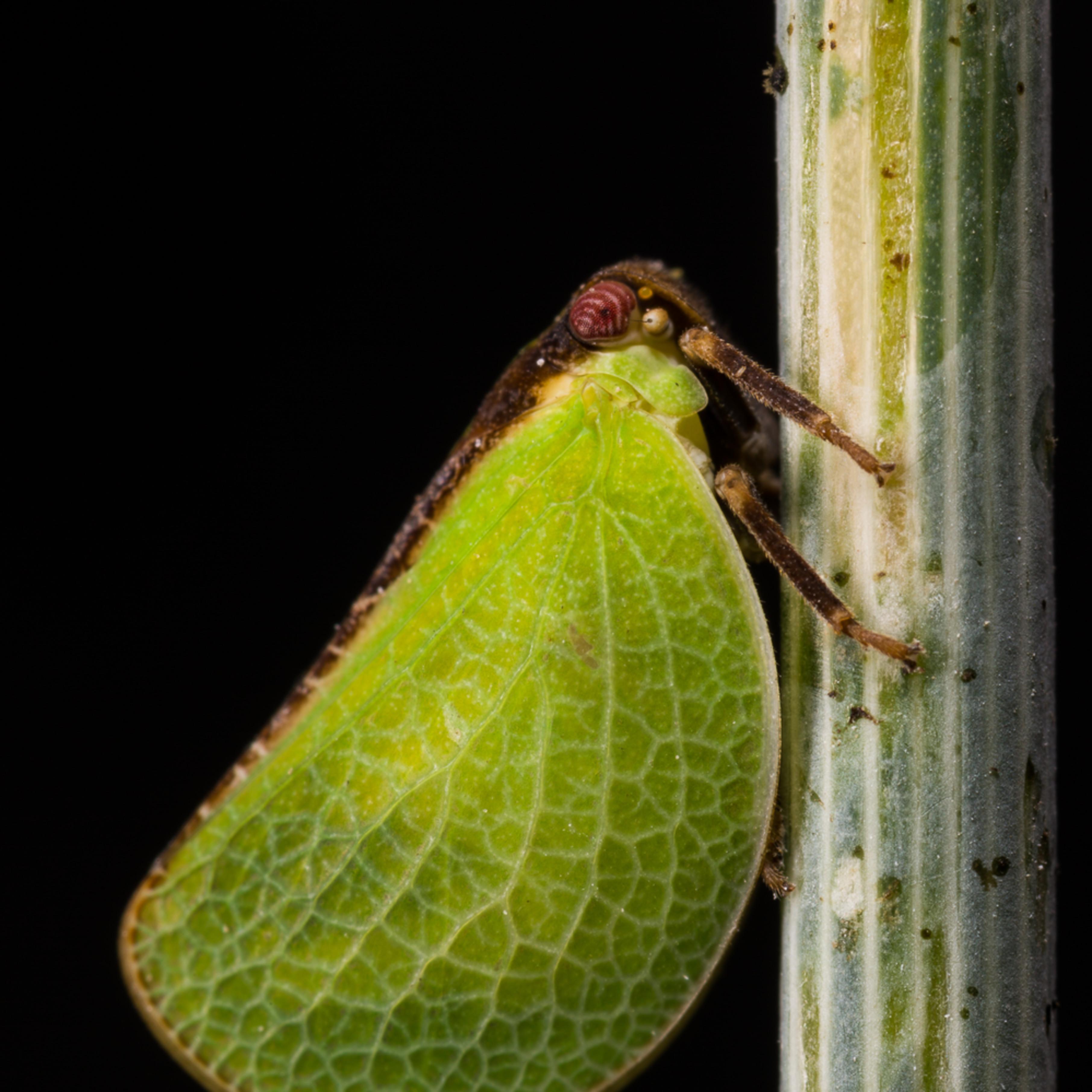 20160814 leafhopper 00050 sw2epi