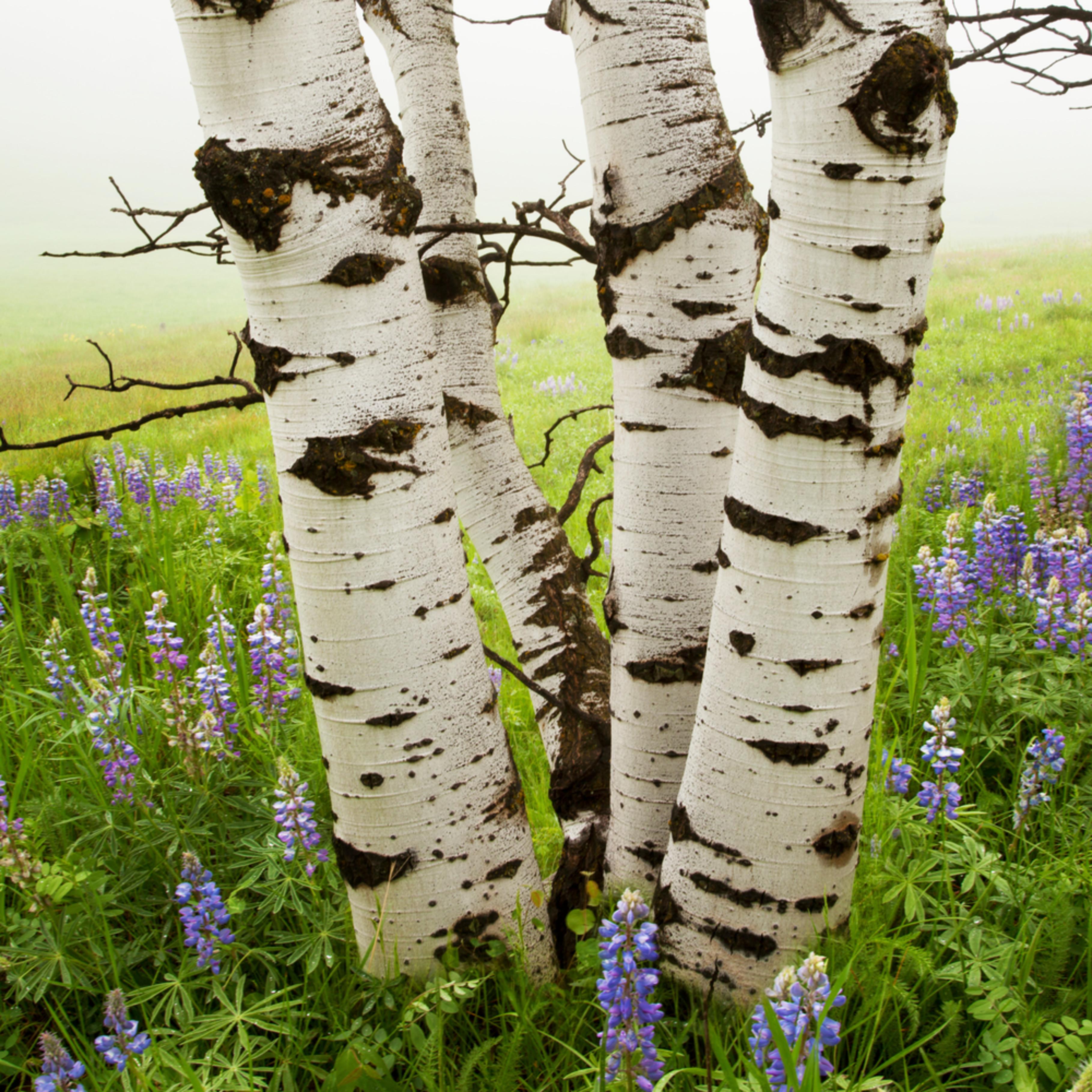 Aspens lupineas ziplgg