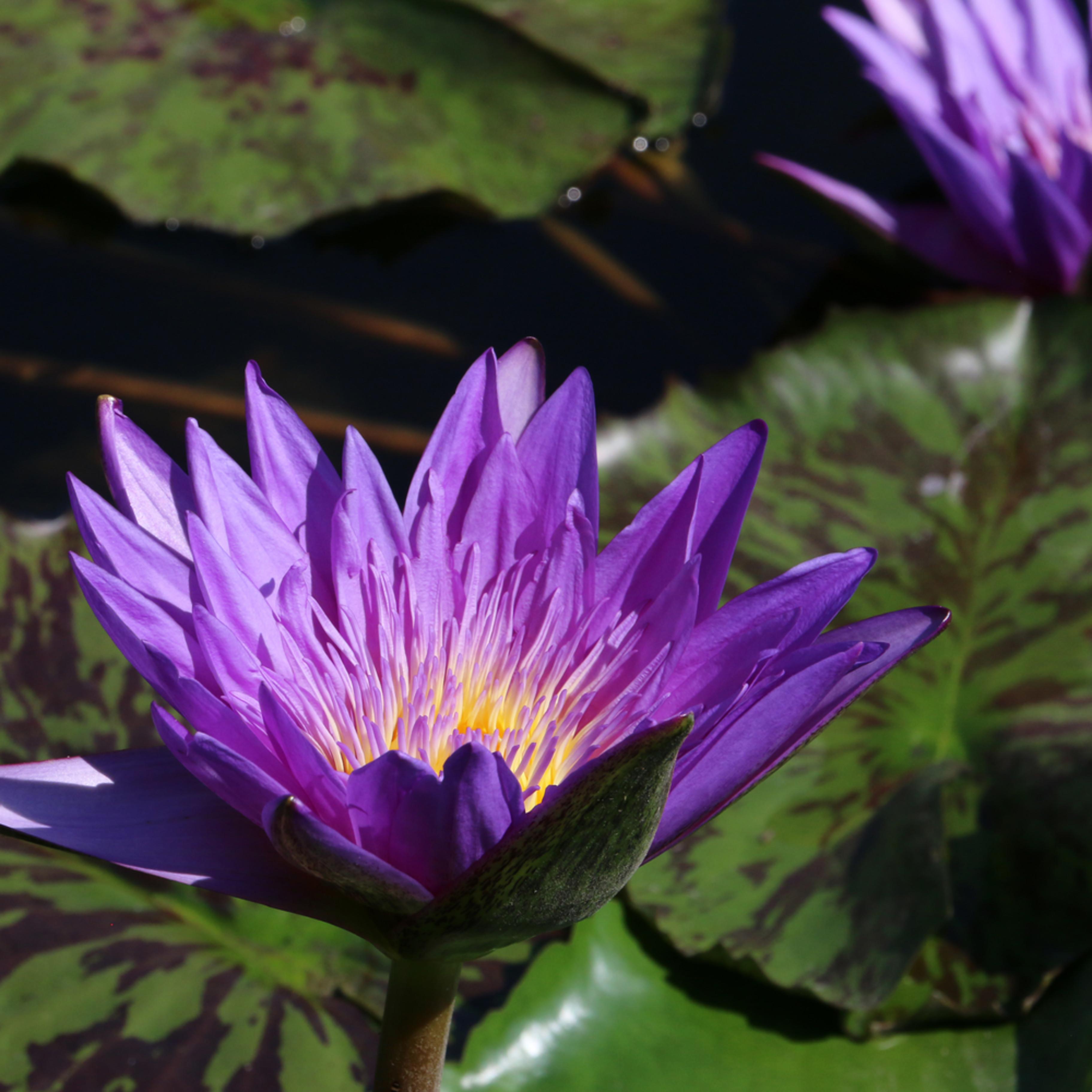Purplewaterlily 7788 mfqf7i
