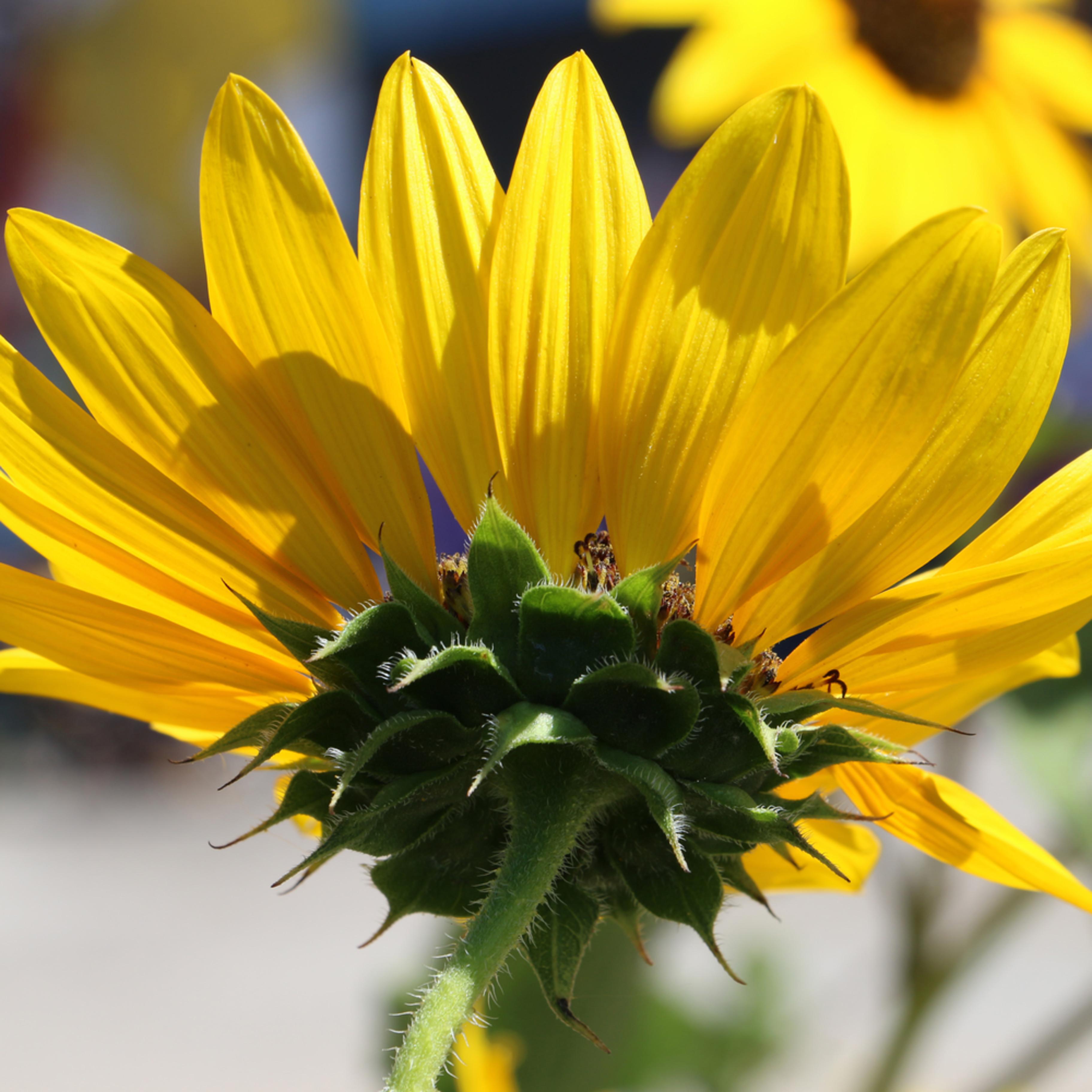 Elizabethmoore sunflower 5011 cywhvl