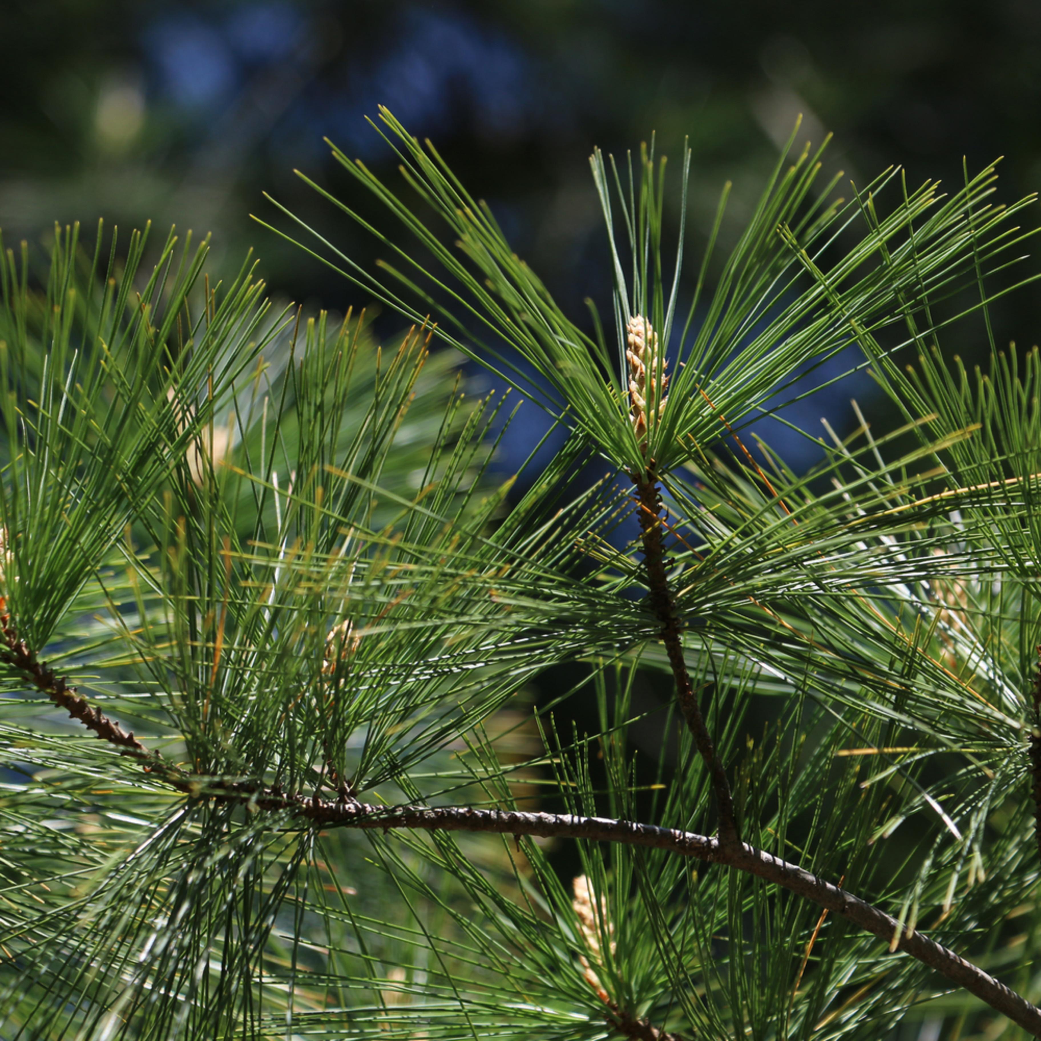 Elizabethmoore pineneedles 3617 gwcbjb