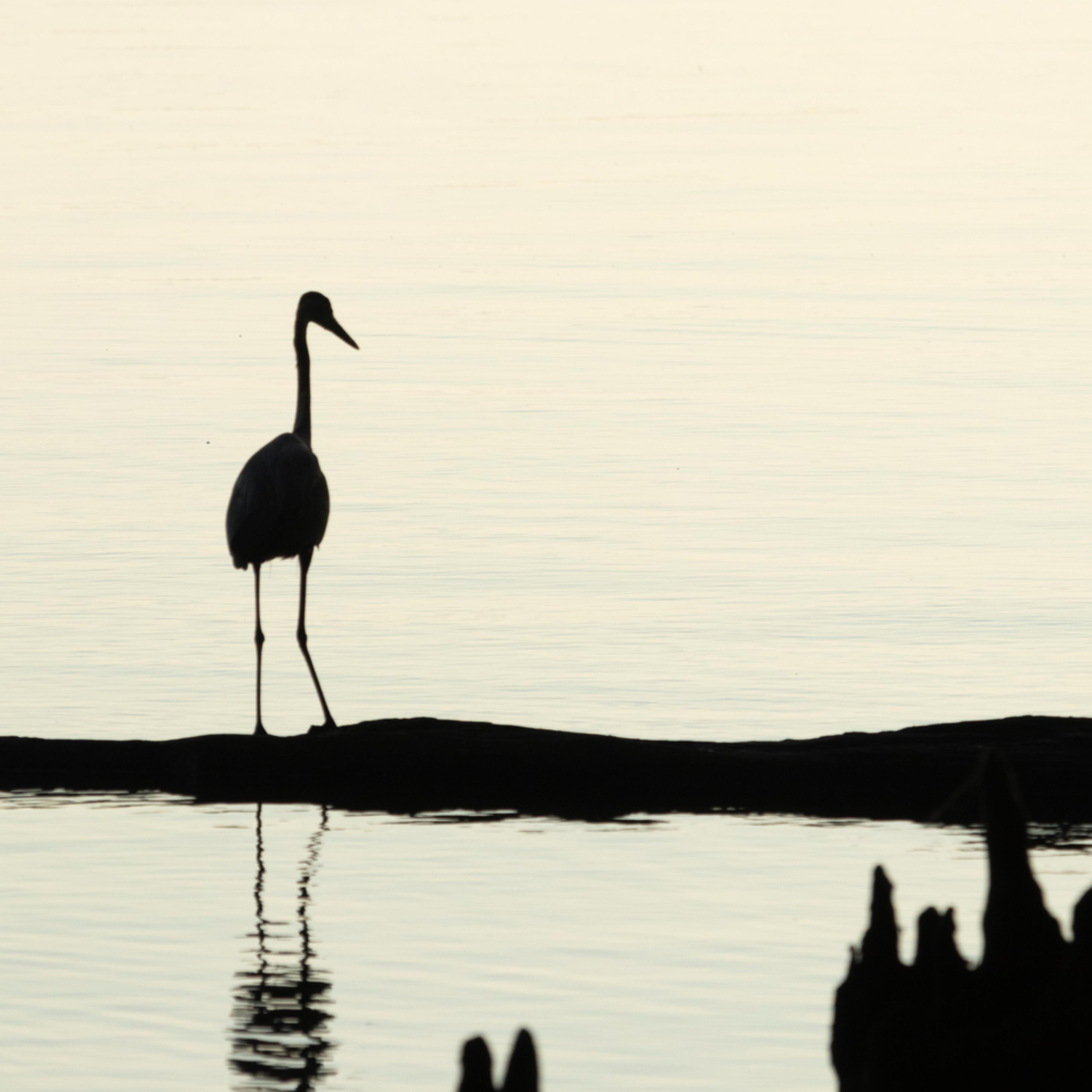 Heron silhouettes mg 7521 srm20 voilqf