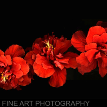 Hibiscus row koral martin iz6be1