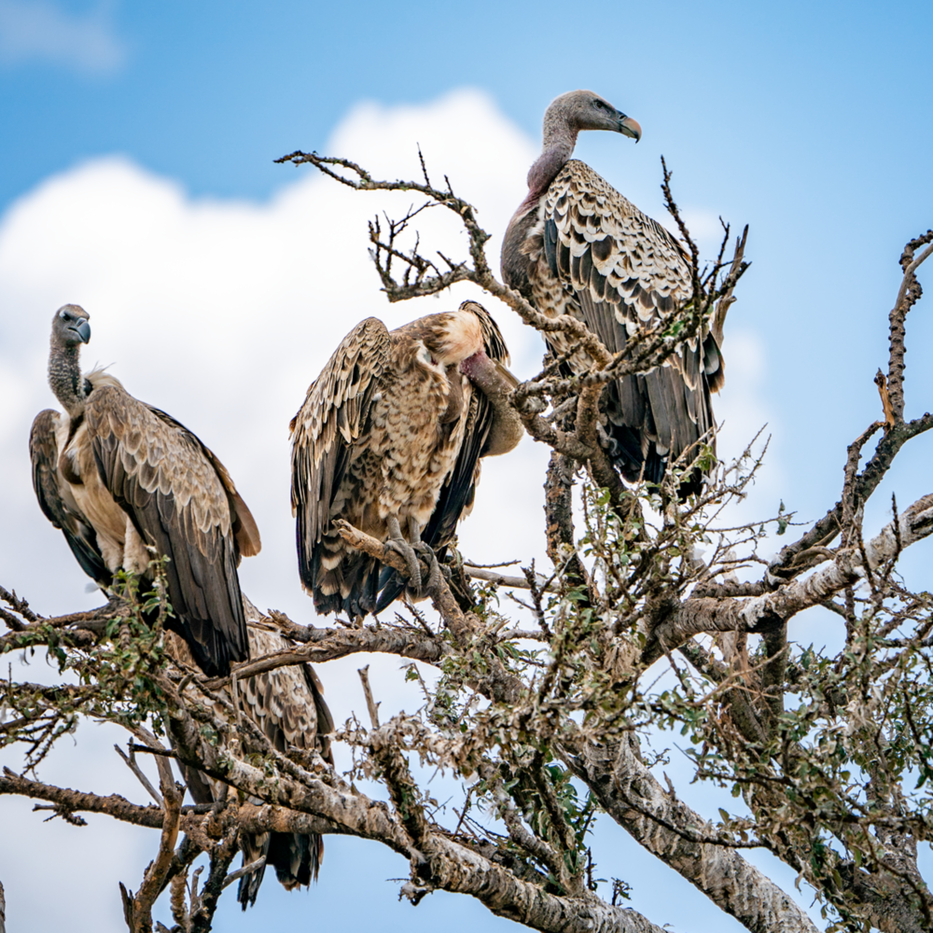 African white backed vultures in a tree 1 asf tifs full size unsigned 2 crvqwt